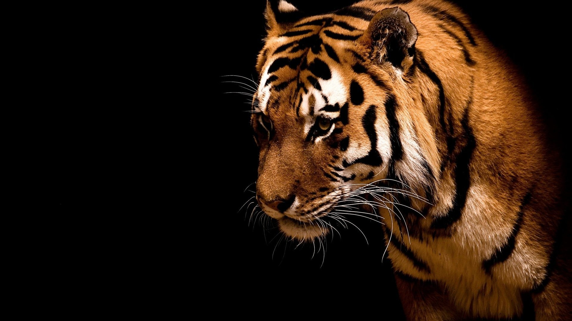 Tiger in the dark. How to set wallpaper on your desktop? Click  the download link from above and set the wallpaper on the desktop from your  OS.