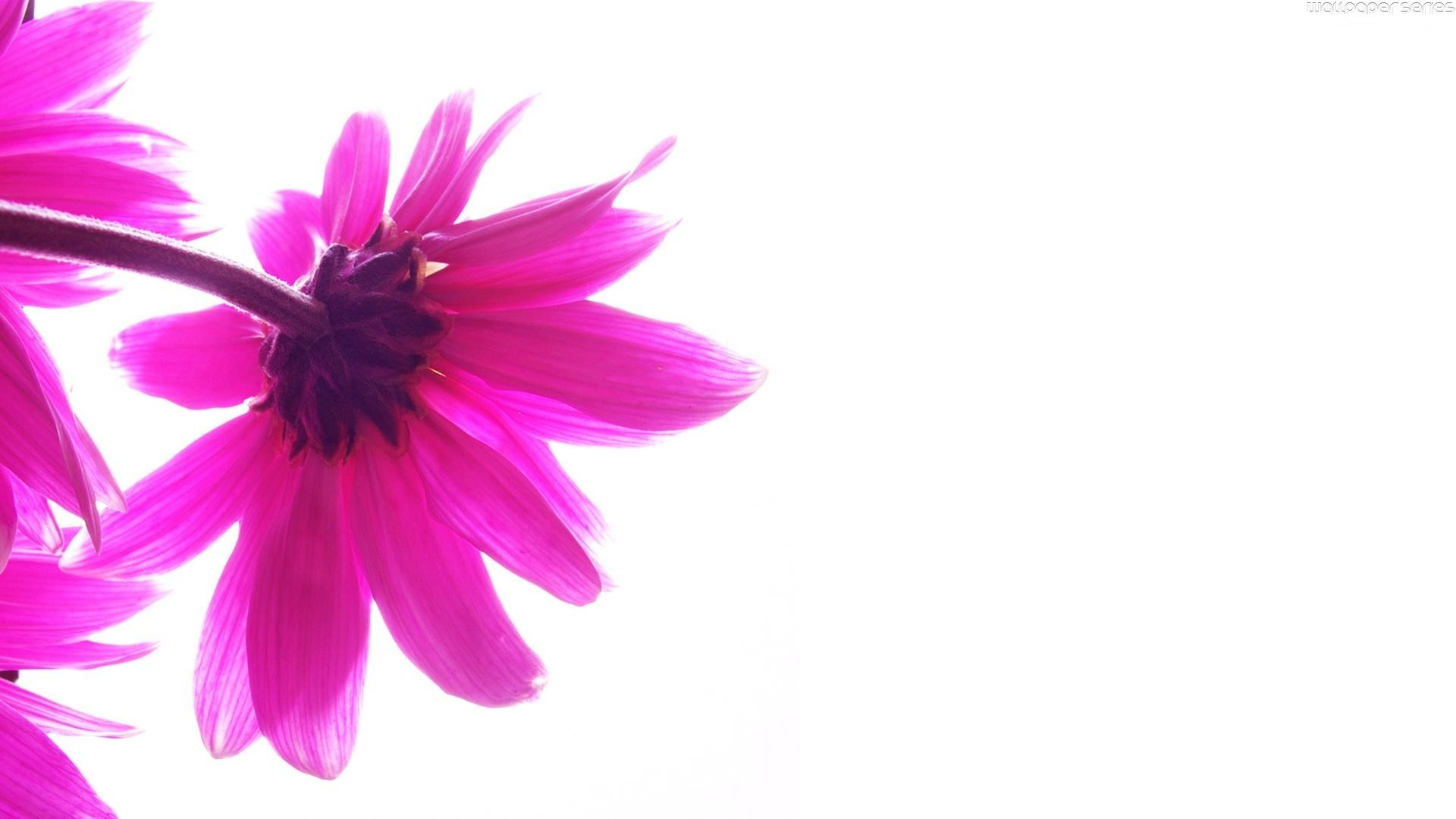 flower-white-and-pink-abstract-backgrounds