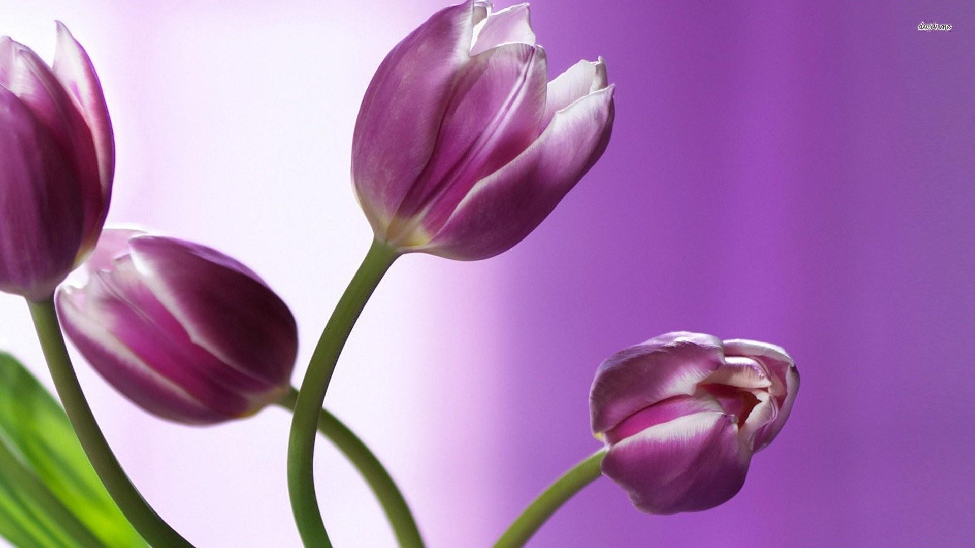 Purple And White Tulips 821369
