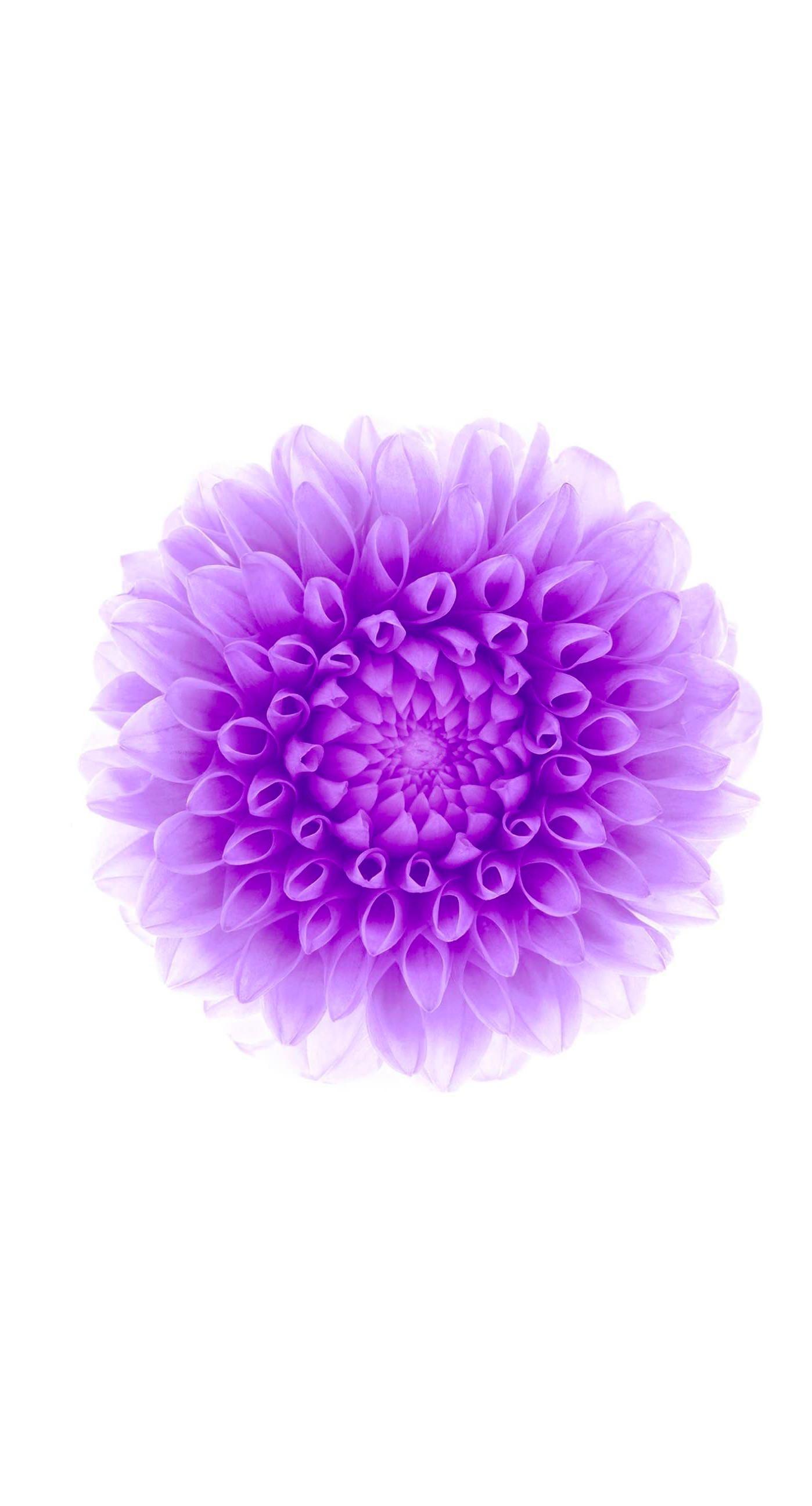 flowerpurplewhite. iPhone 6s Plus / iPhone 6 Plus wallpaper