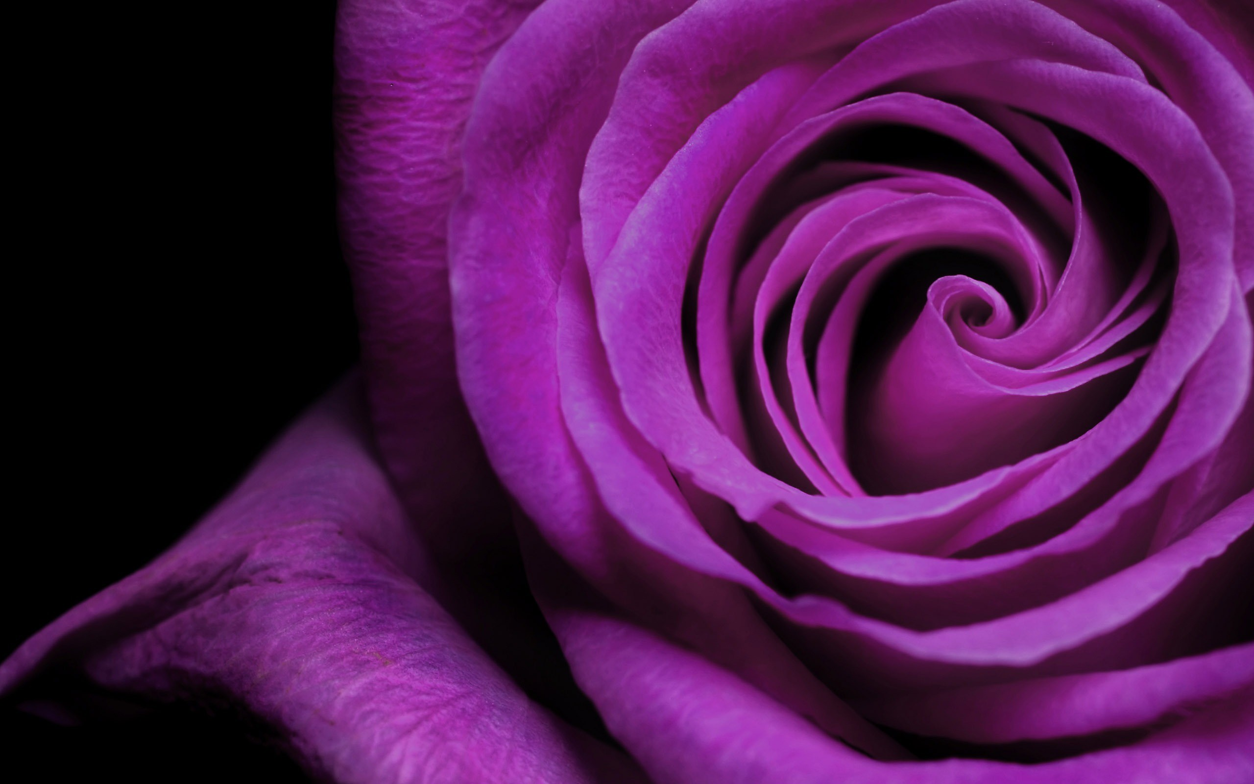 Purple And White Rose Wallpaper