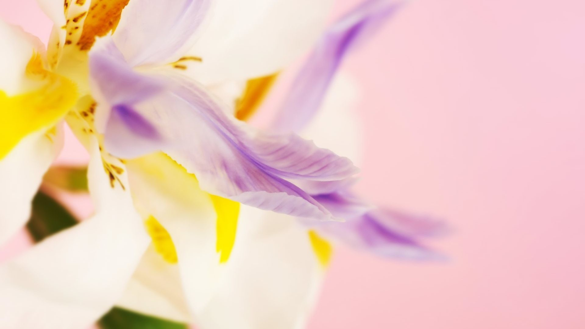 Pastel Tag – Colors Soft Yellow Pink Pastels Petals Pastel Purple White  Flower Wallpaper Ipad for