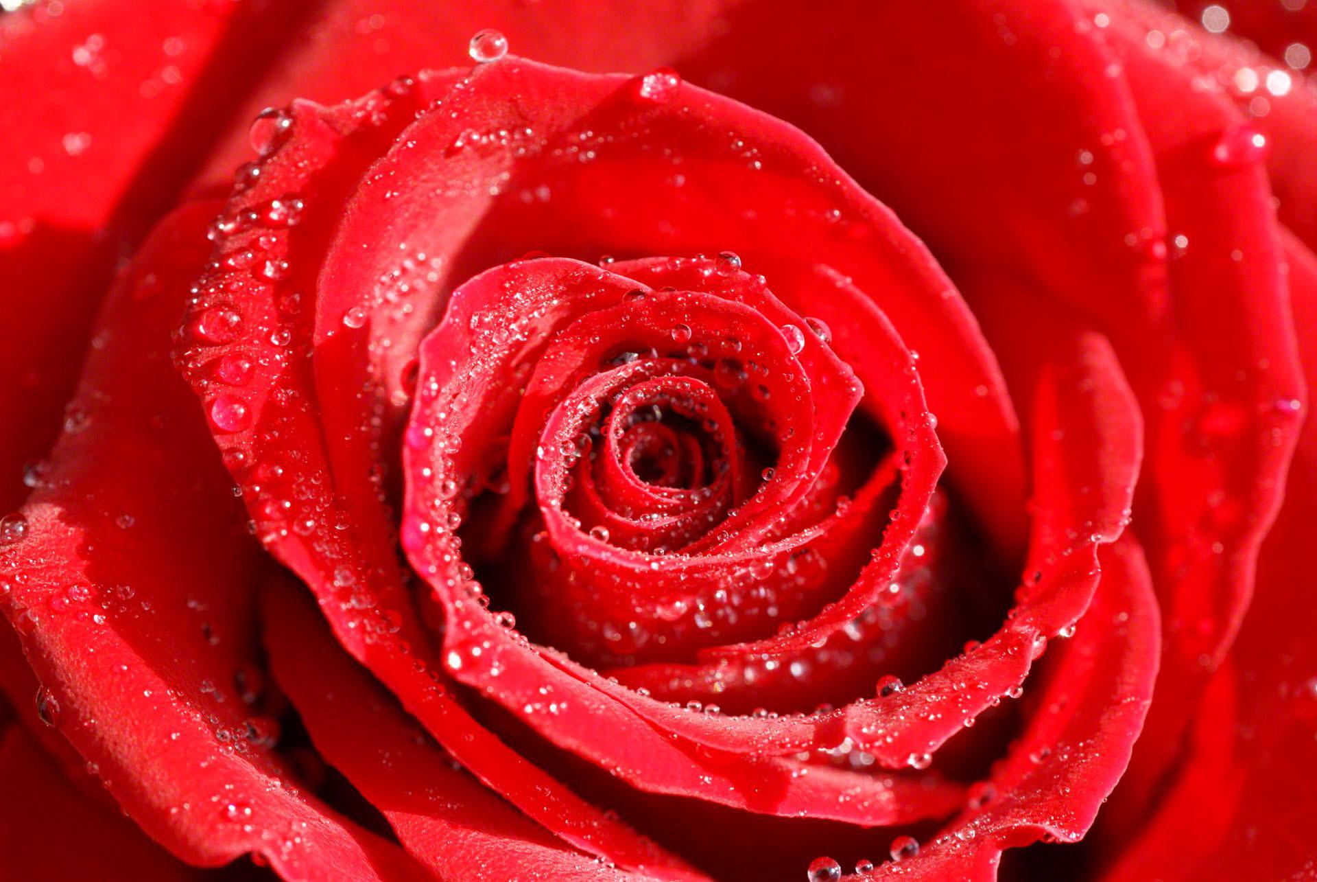 Roses flower, Roses photos, roses wallpaper for your desktop – Red Rose,  White Rose, Orange Rose, Pink