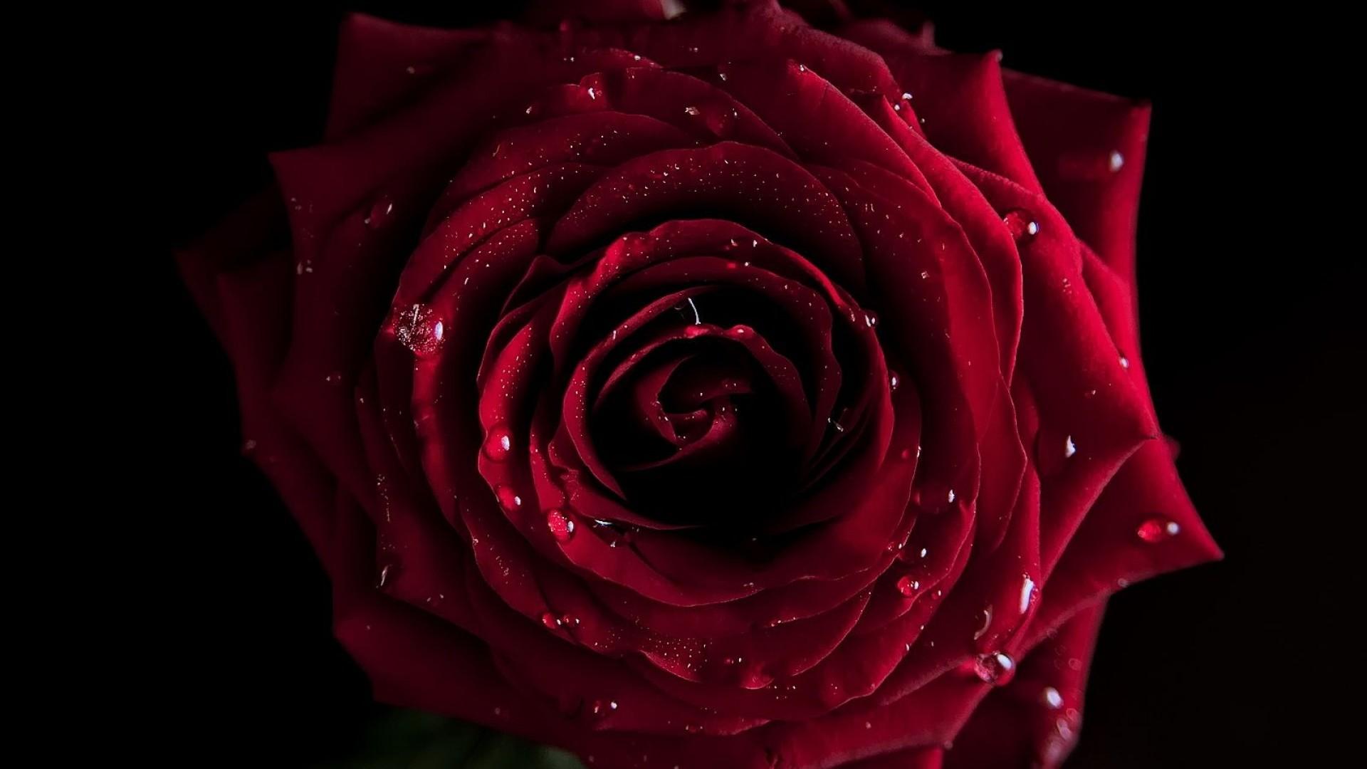 … Red Rose Wallpaper …