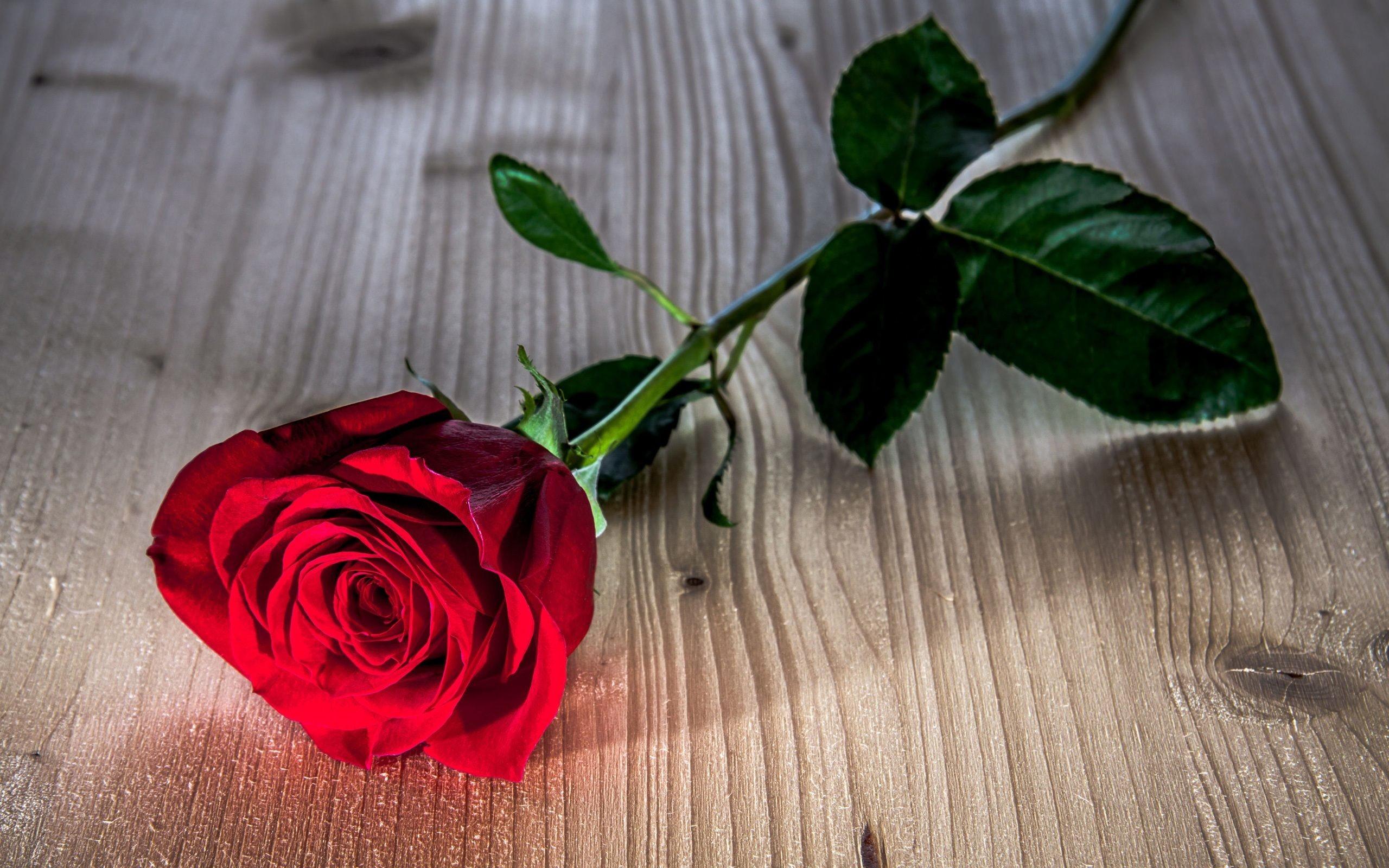 Lovely Rose Wallpaper Flowers Nature Wallpapers in jpg format for