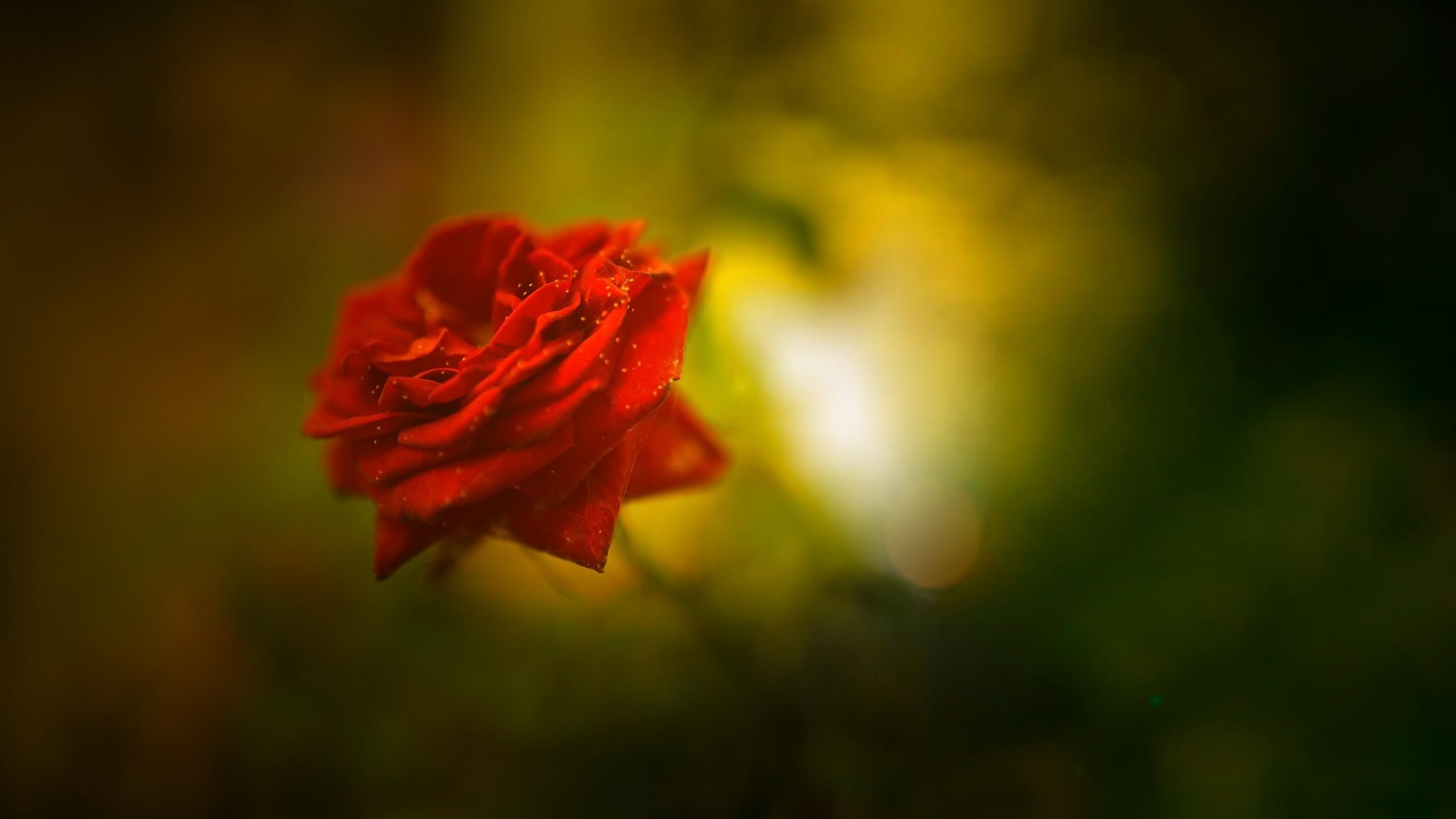 Flowers / Red Rose Wallpaper