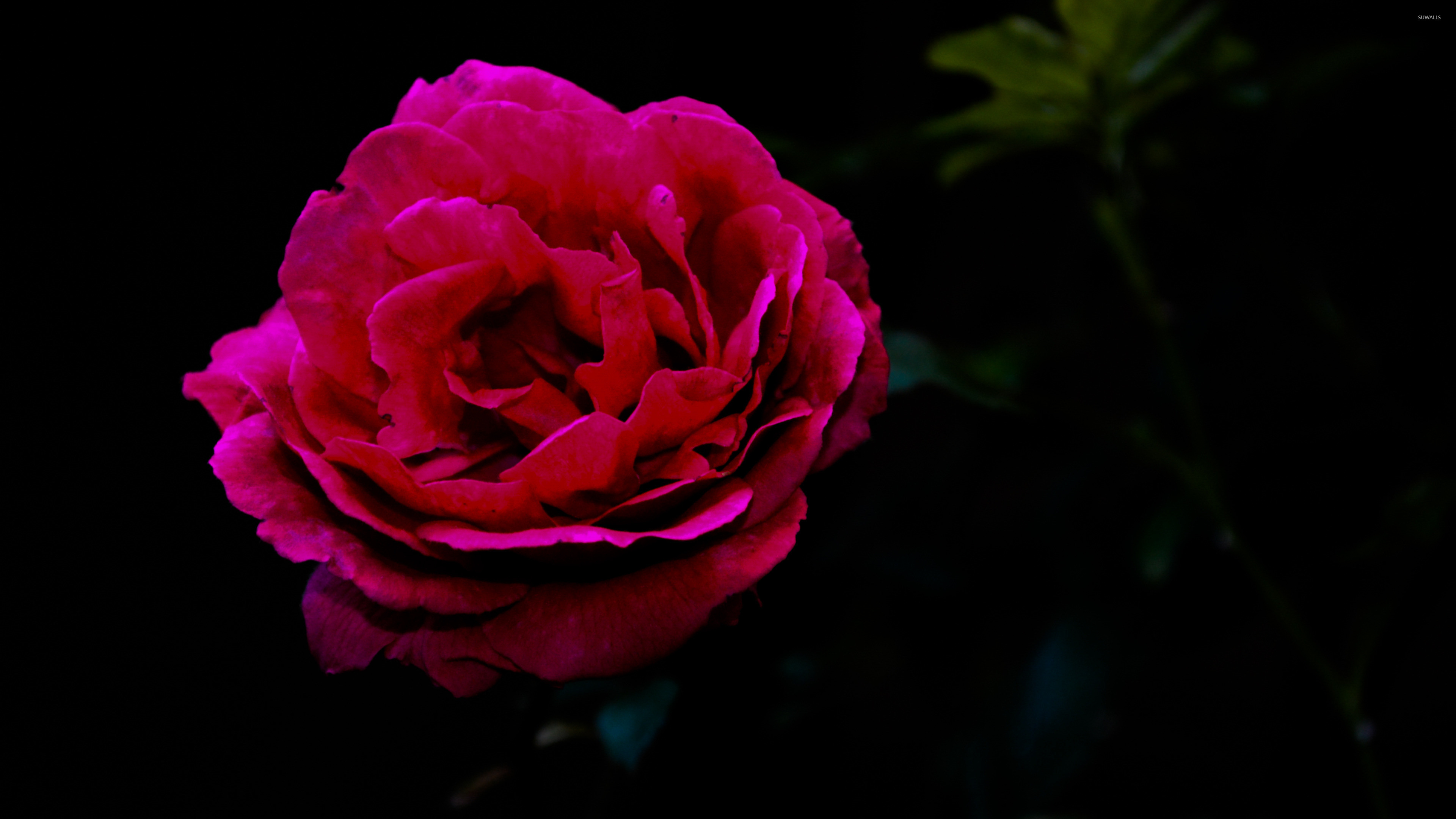 Single red rose wallpaper