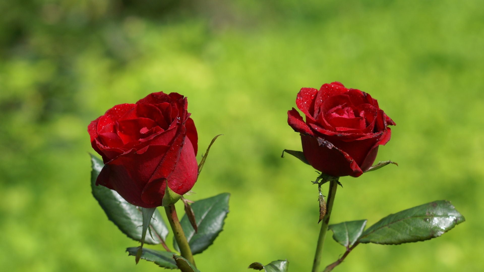 two red rose wallpaper