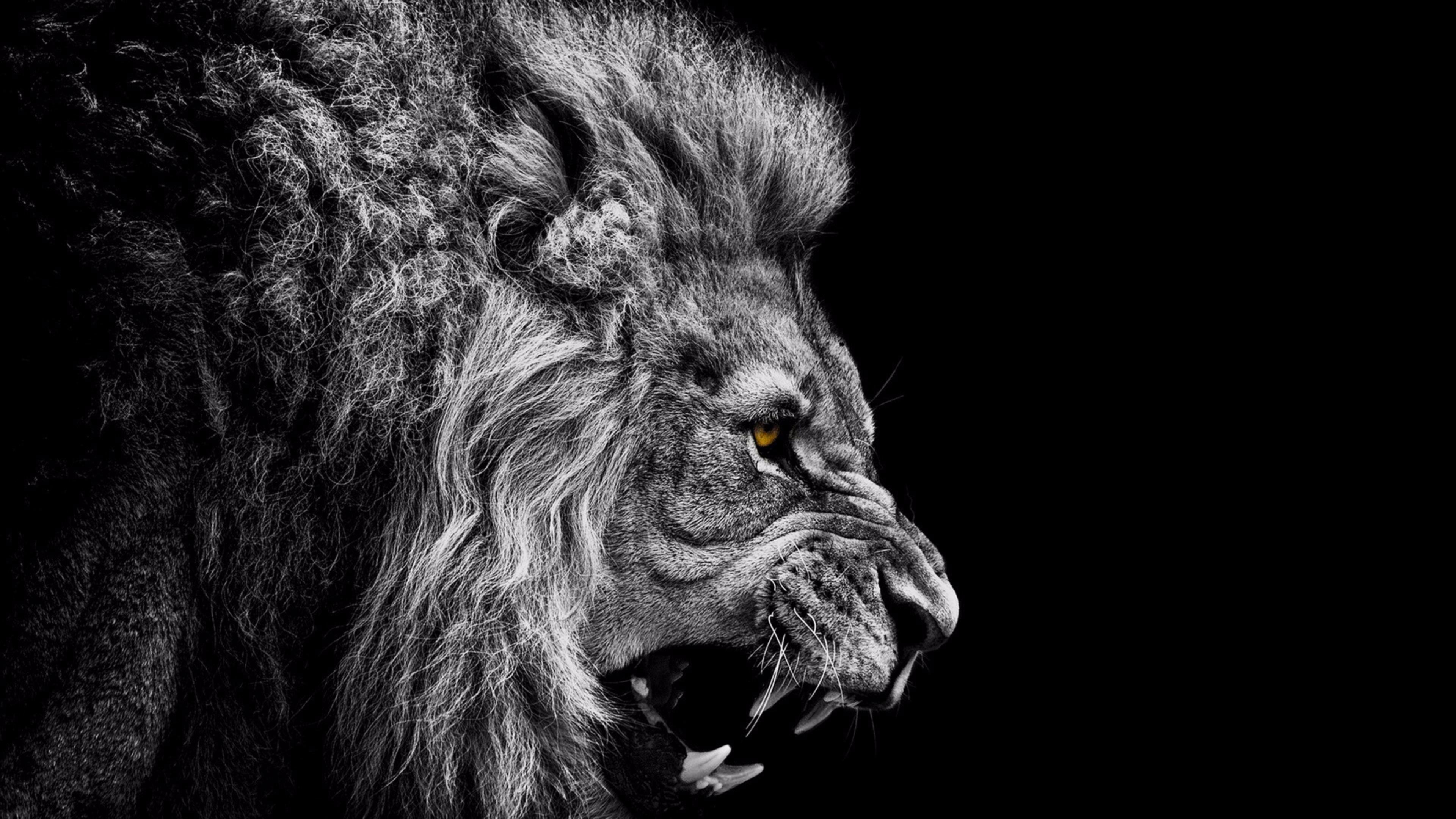 Black and White Lion 4K Wallpaper | Free 4K Wallpaper