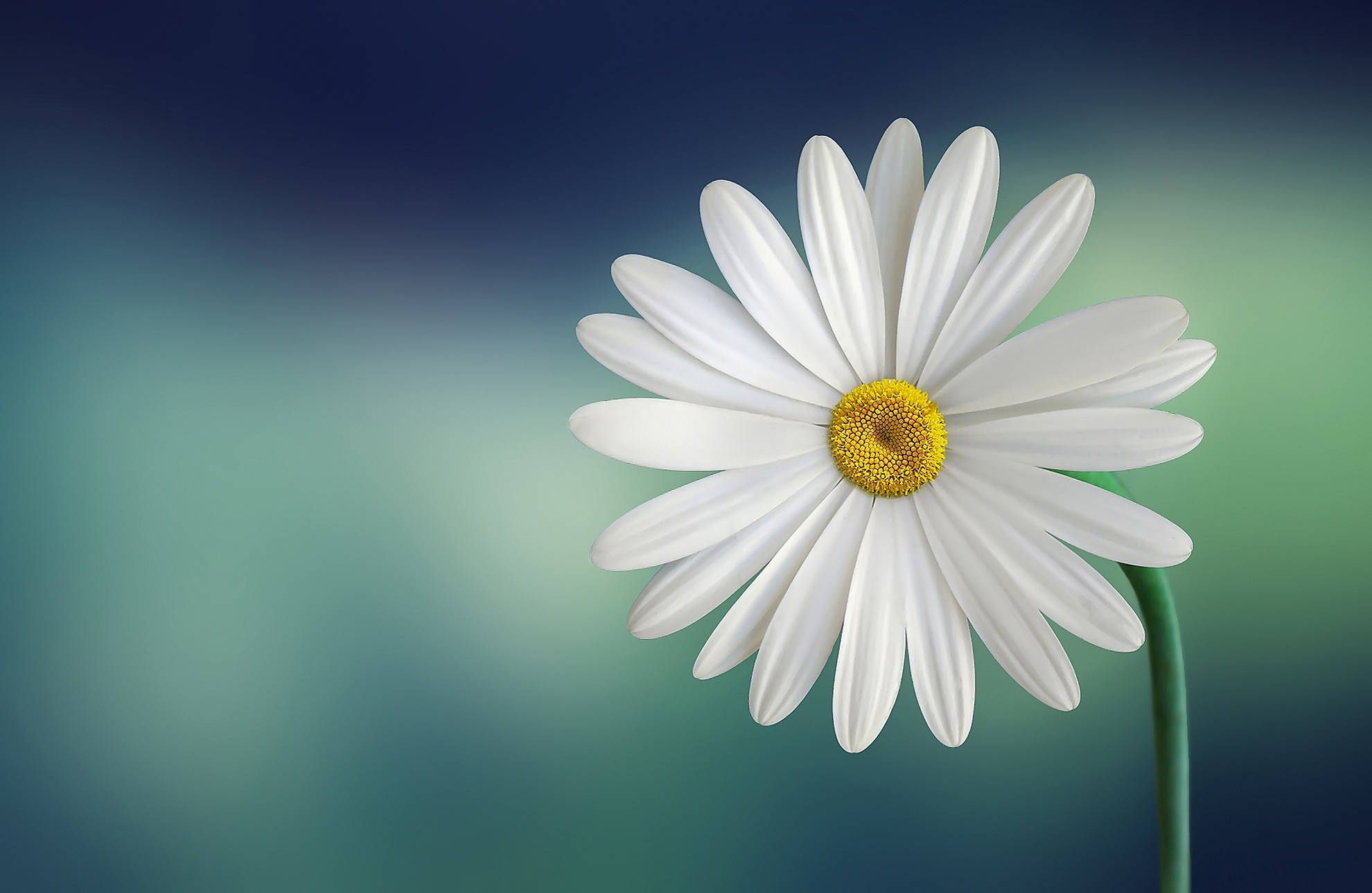 White and Yellow Flower With Green Stems