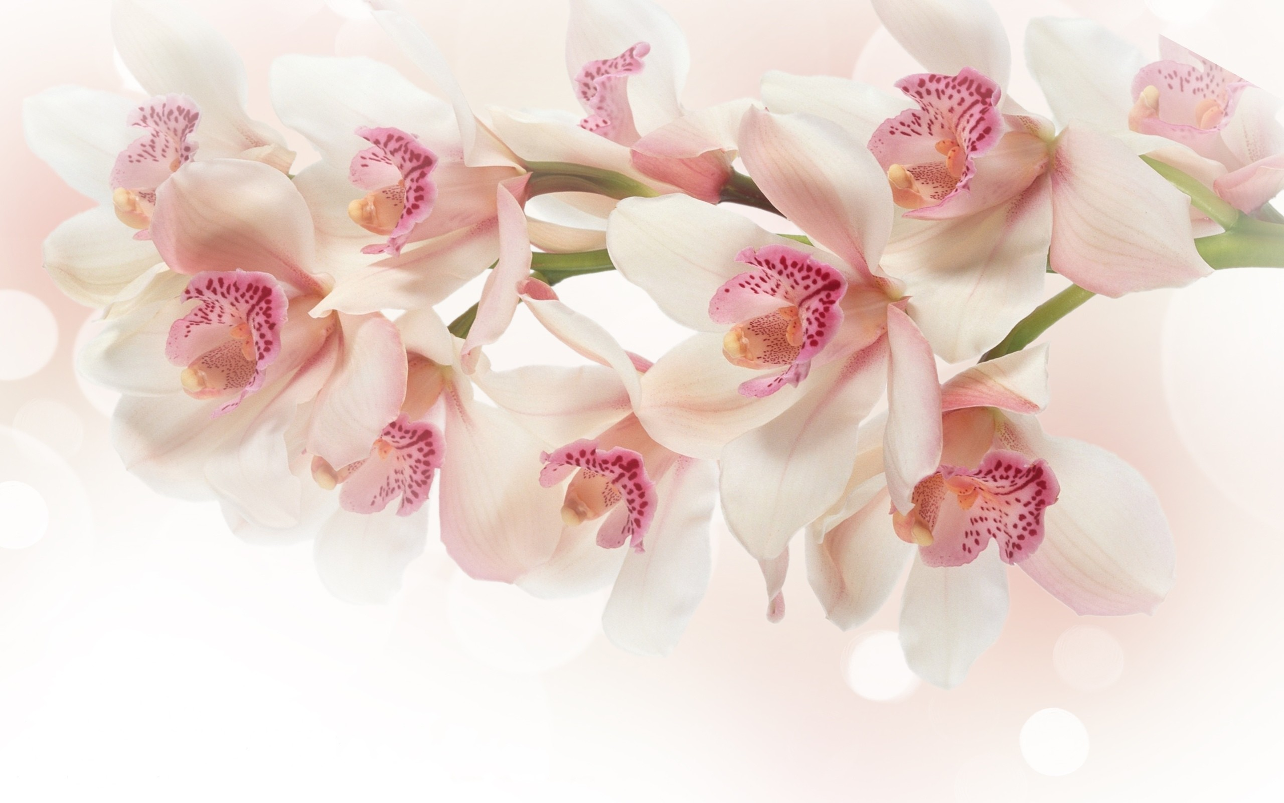 White And Pink Orchids Wallpaper