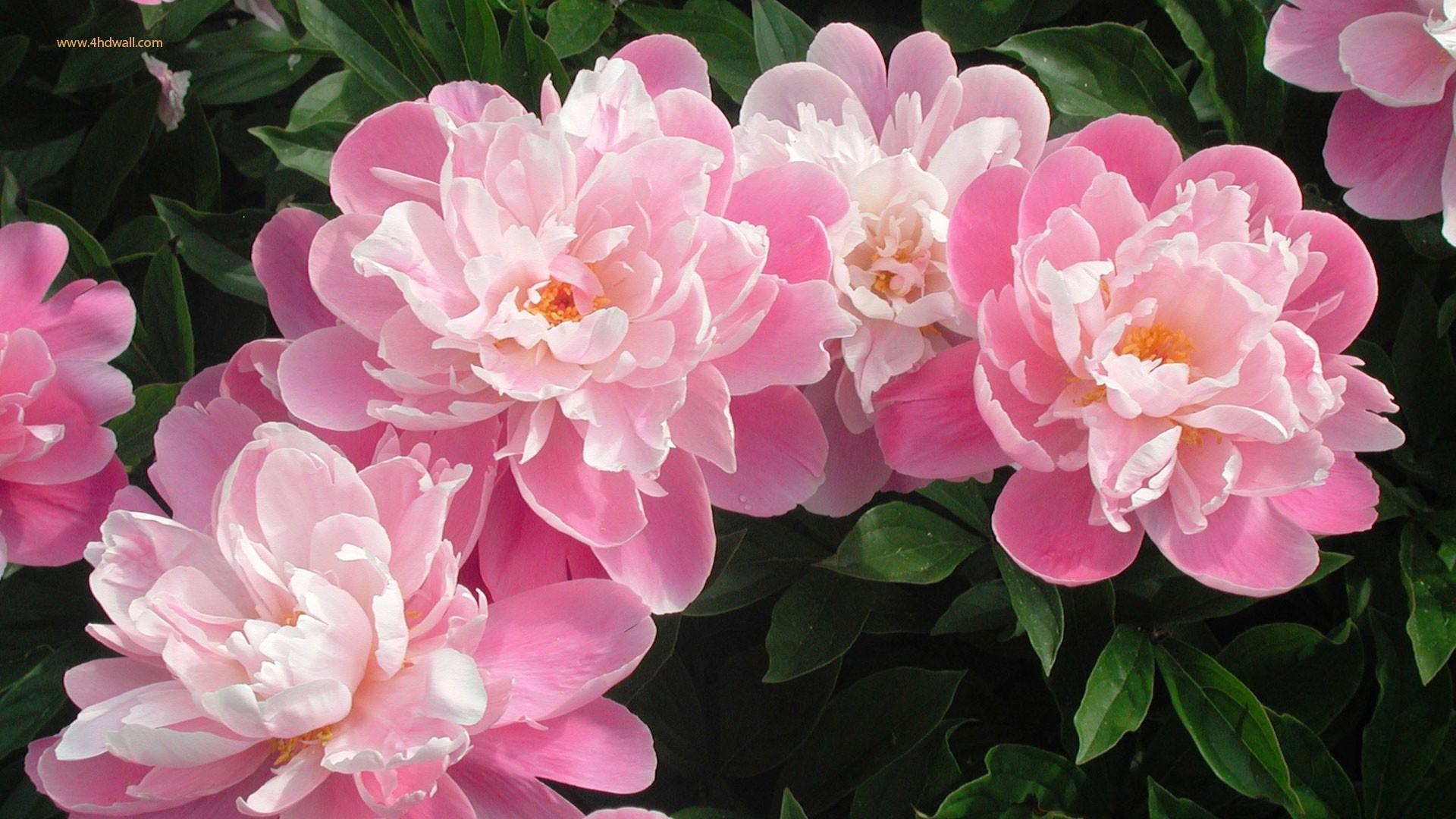 White And Pink Flower Wallpaper Iphone : Flower Wallpaper – Kokean.com