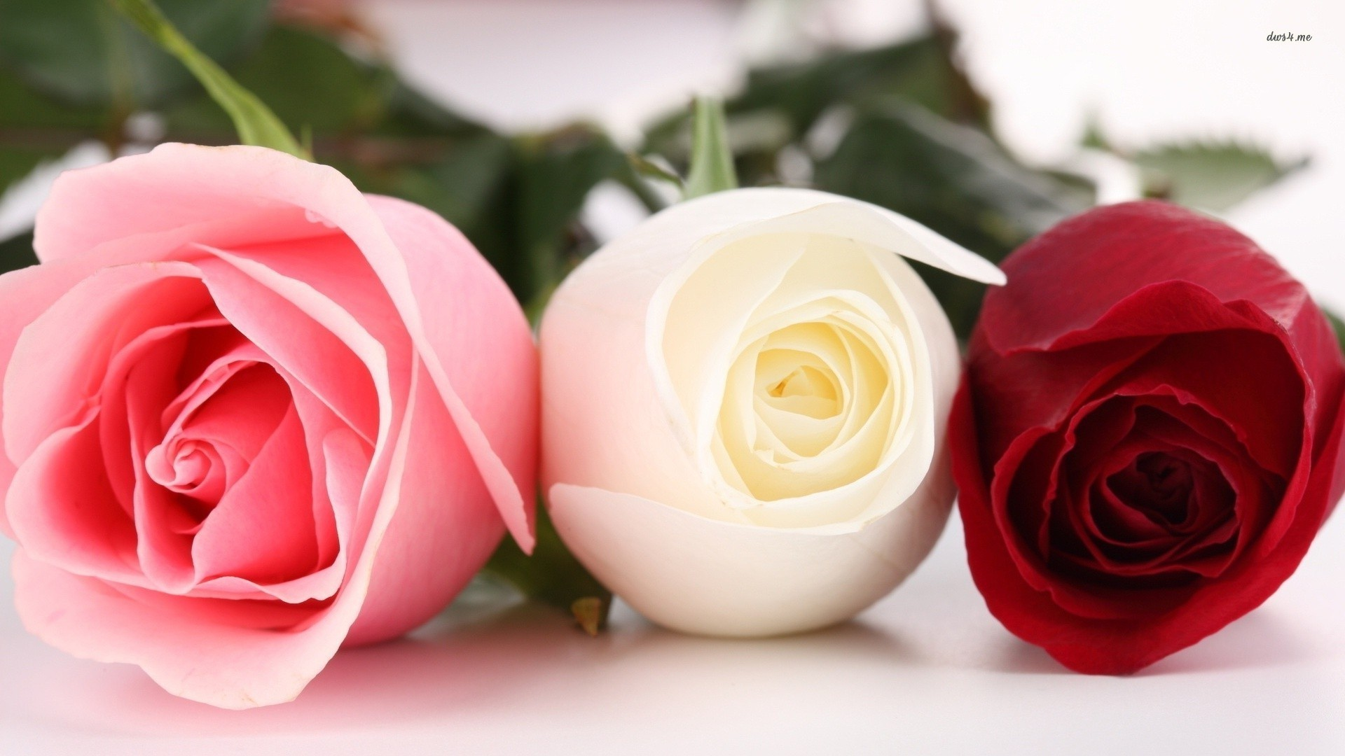 Pink White Rose Wallpaper
