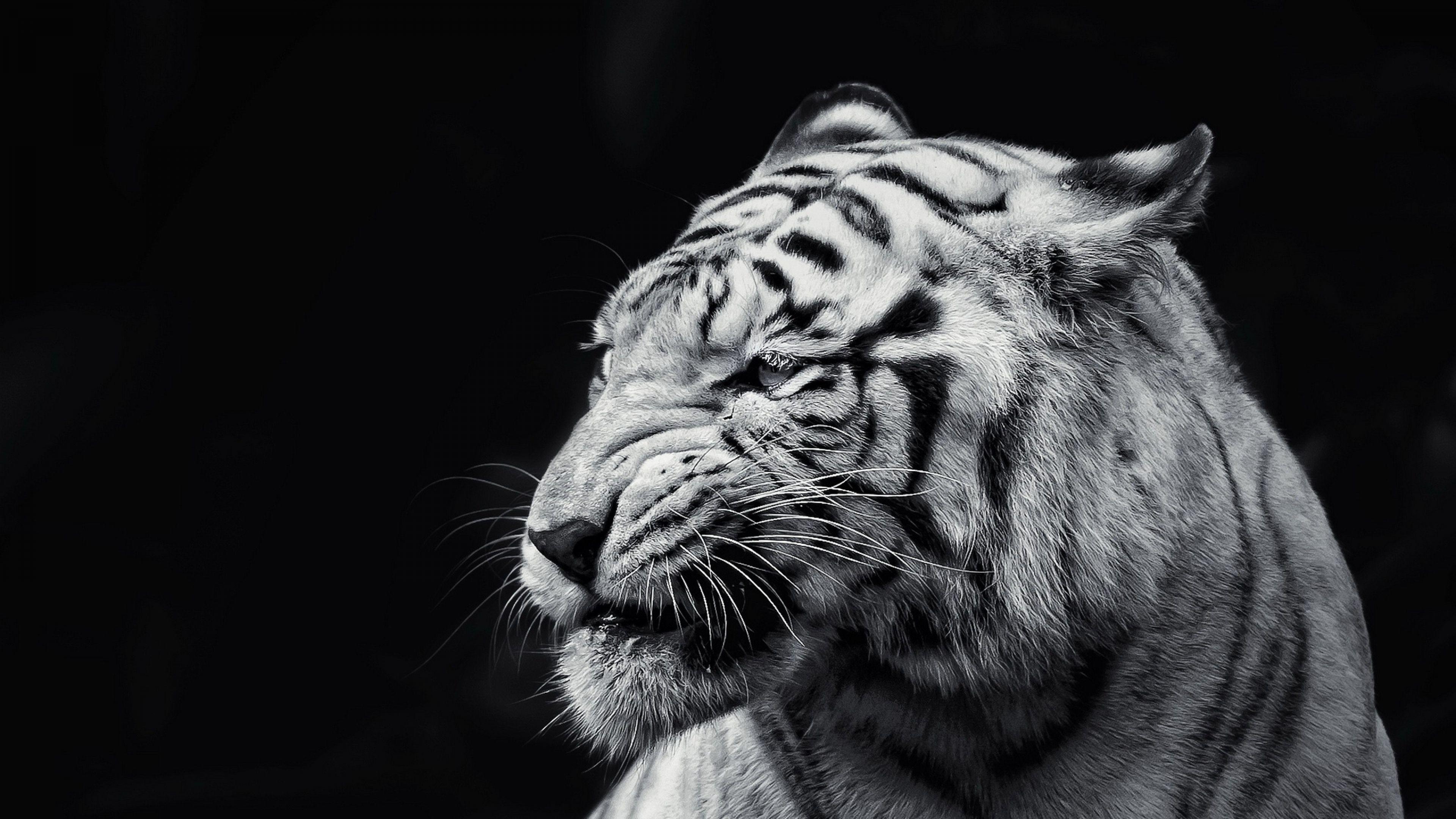 Download Wallpaper Tiger, Face, Eyes, Black and white 4K .