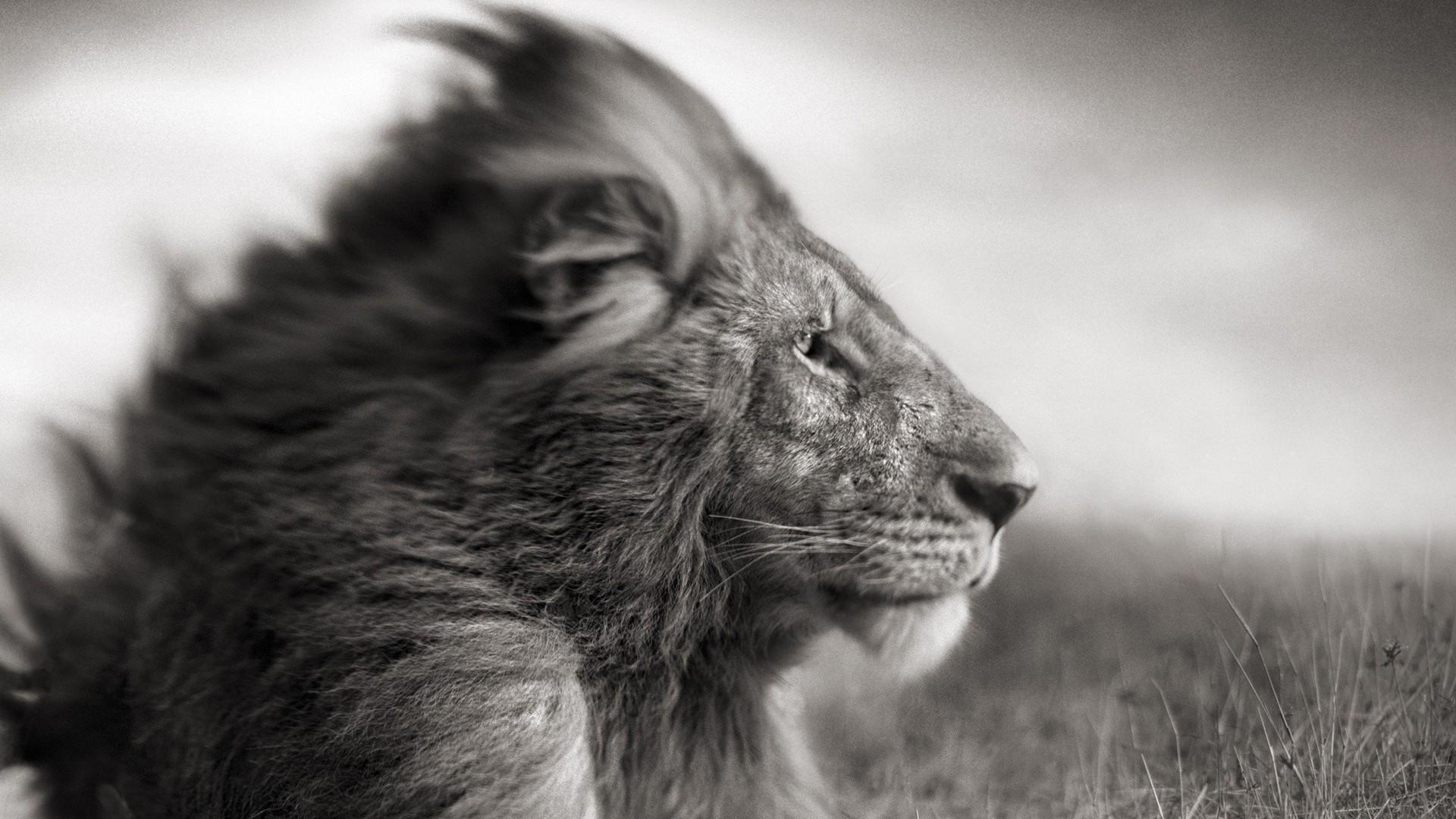 Lion Black And White Wallpaper Hd