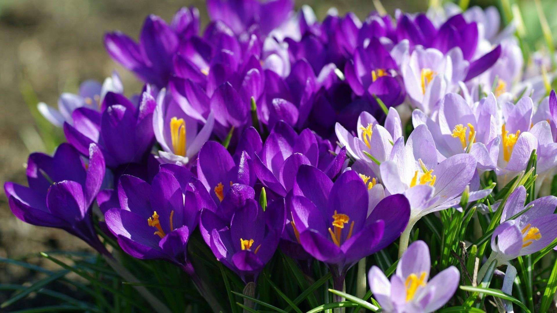Flowers crocus purple spring pink green flori phone wallpapers 1920×1080.