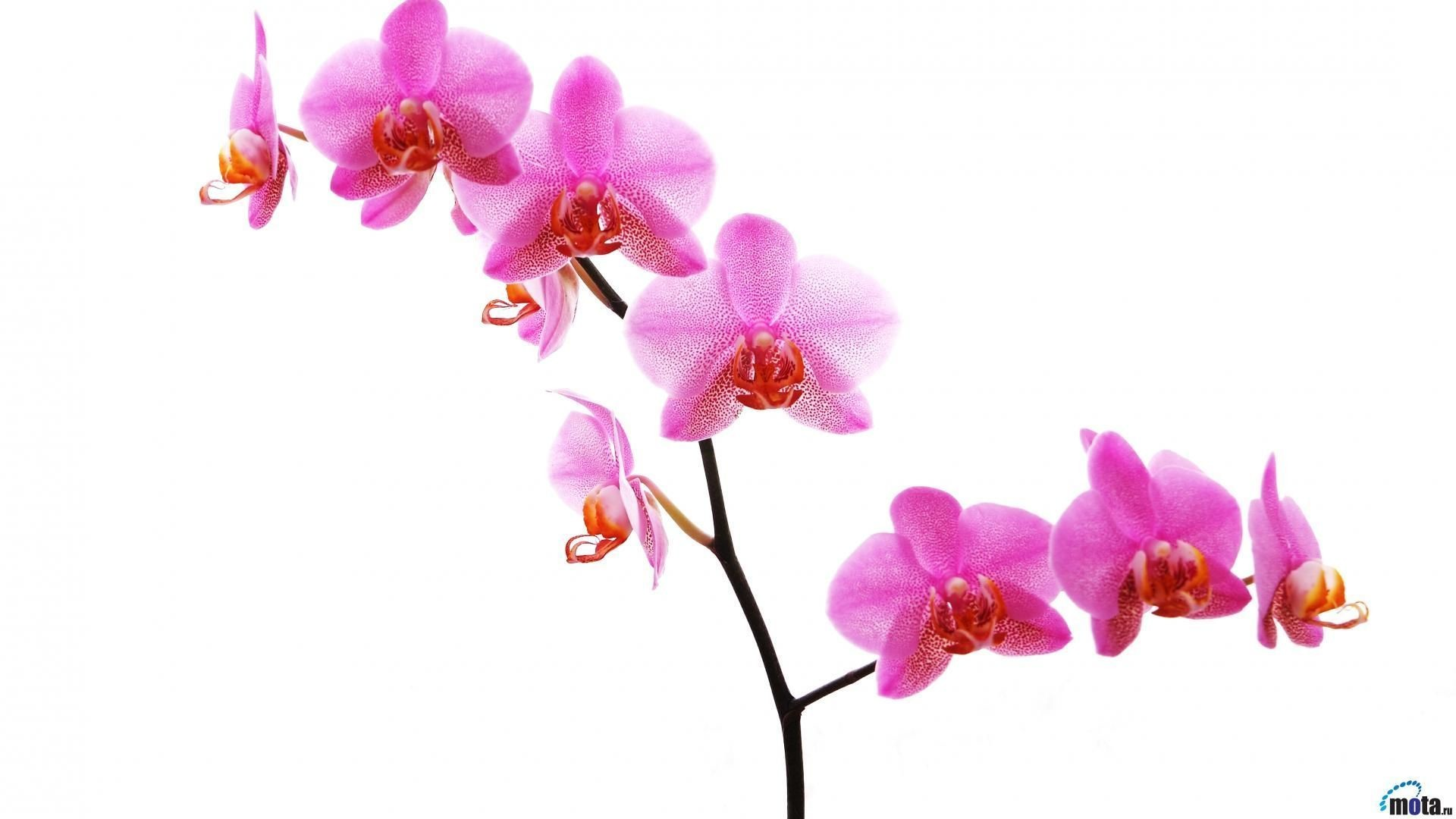 Top Orchid White Phone Wallpaper Images for Pinterest