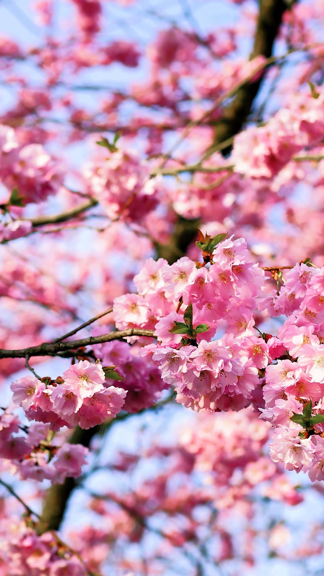Cherry Blossom Tree Phone Wallpaper
