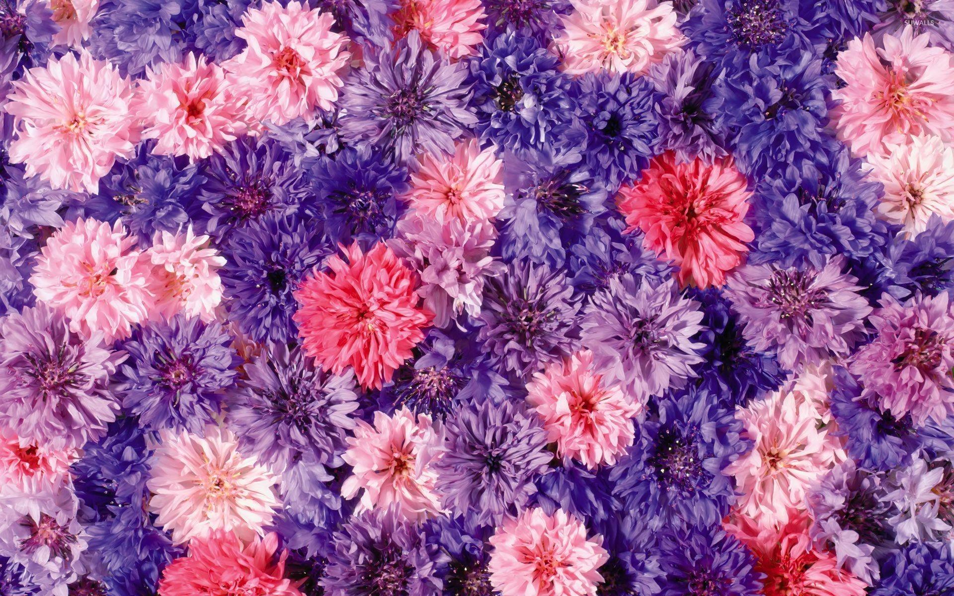Pink and purple Chrysanthemums wallpaper