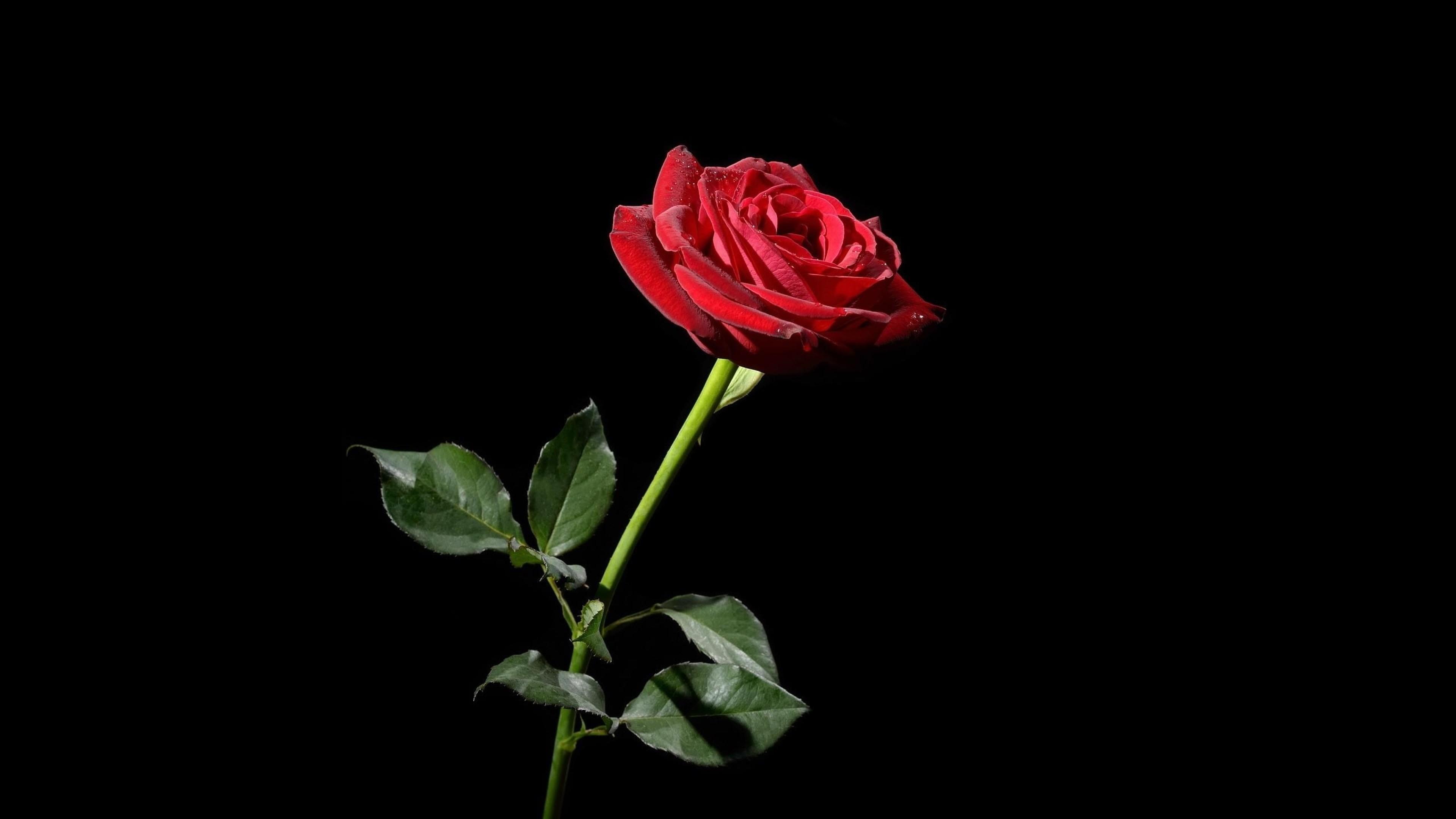 Wallpaper rose, red, flower, black background