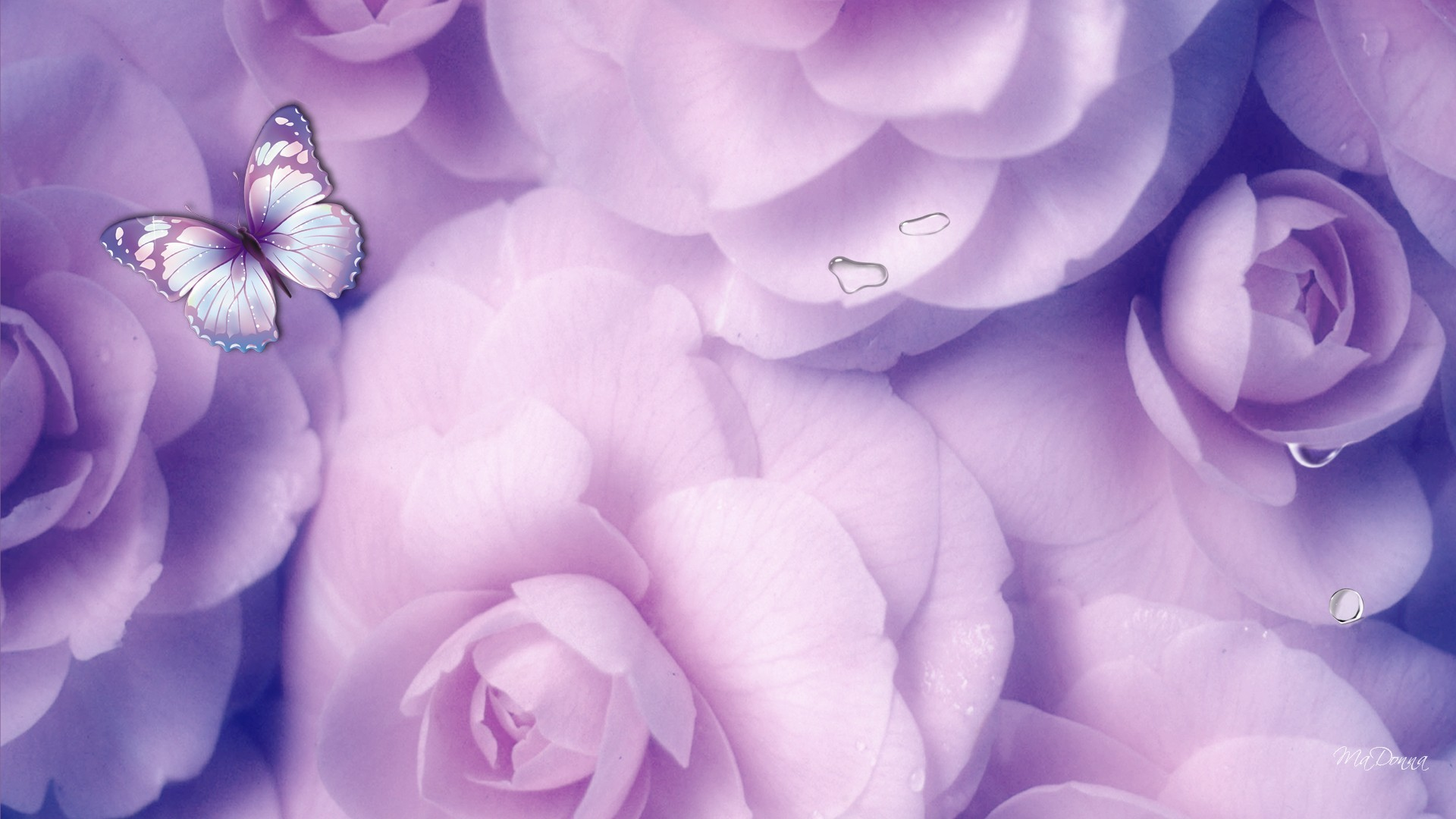 Lavender Flower Background HD   HD Lavender Roses Wallpaper