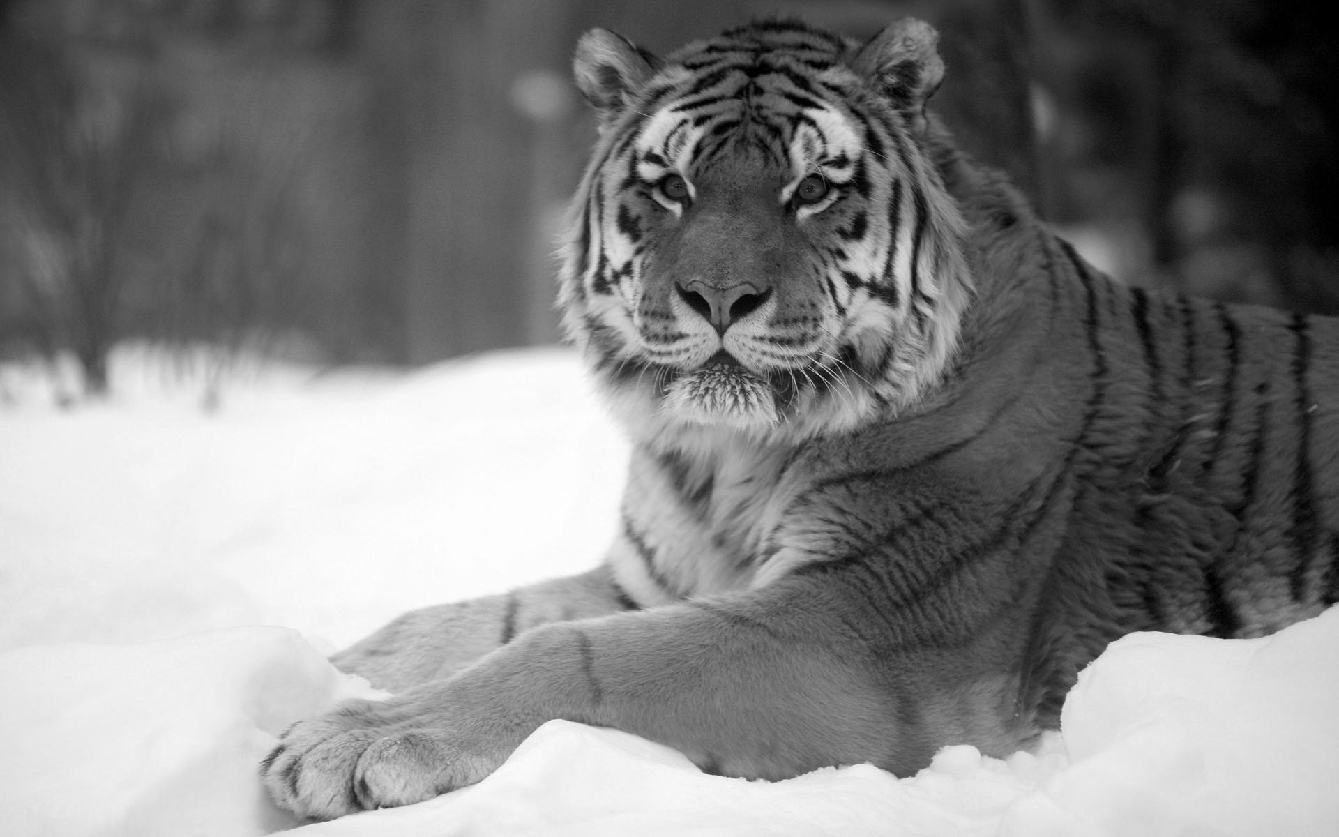 Animals & Birds Tigers Black And White Tiger Snow Wide Wallpaper .