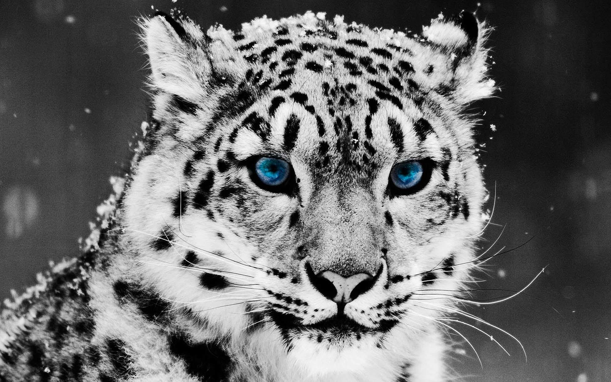 White Leopard Face Background – Animals Desktop Wallpaper
