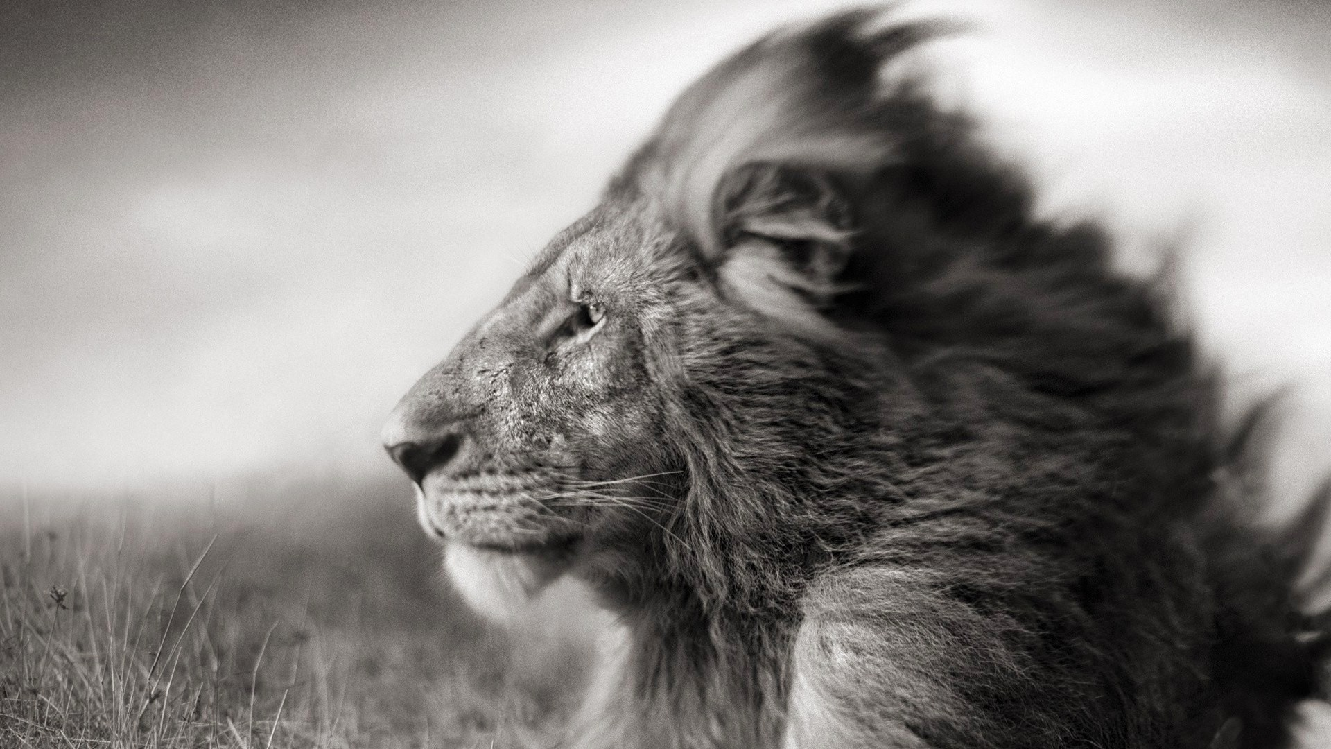 Preview wallpaper lion, mane, muzzle, black white, wind, field 1920×1080