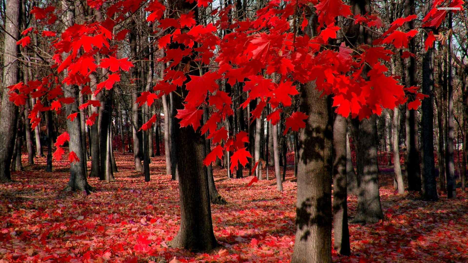 Color Red 4K Fall Wallpaper | Free 4K Wallpaper