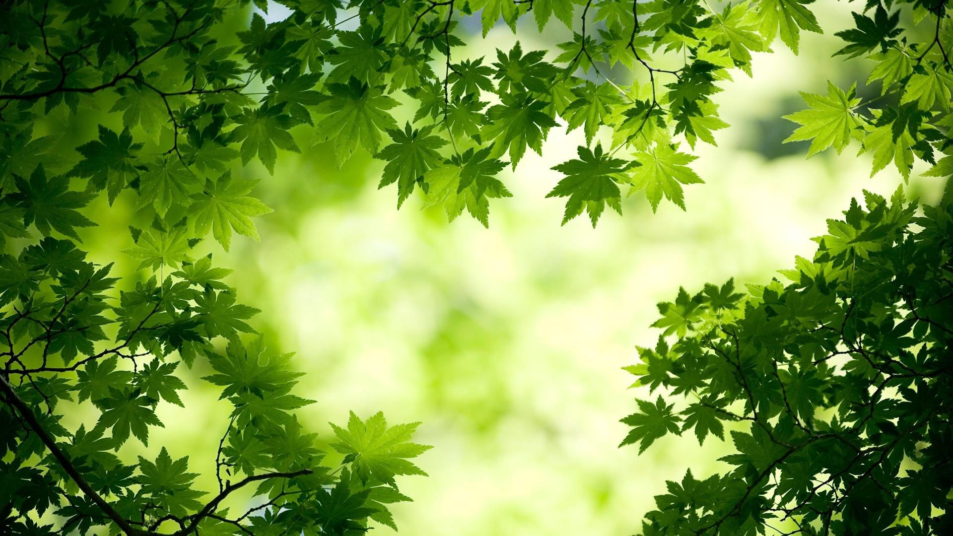 maple-leave-green-wallpaper