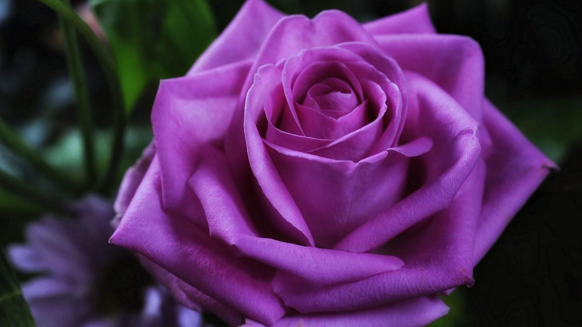 Love Tag – Flowers Emotions Purple Love Violet Spring Life Rose Red Romance  New Nature Desktop
