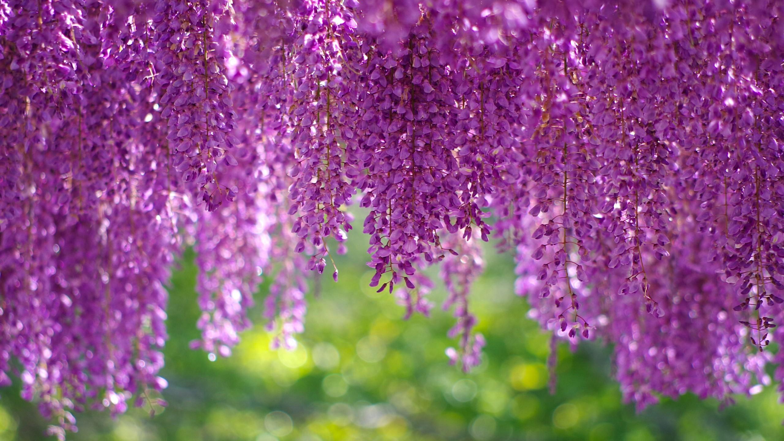 Flowers / Wisteria Wallpaper. Wisteria, Blossom, Purple, HD