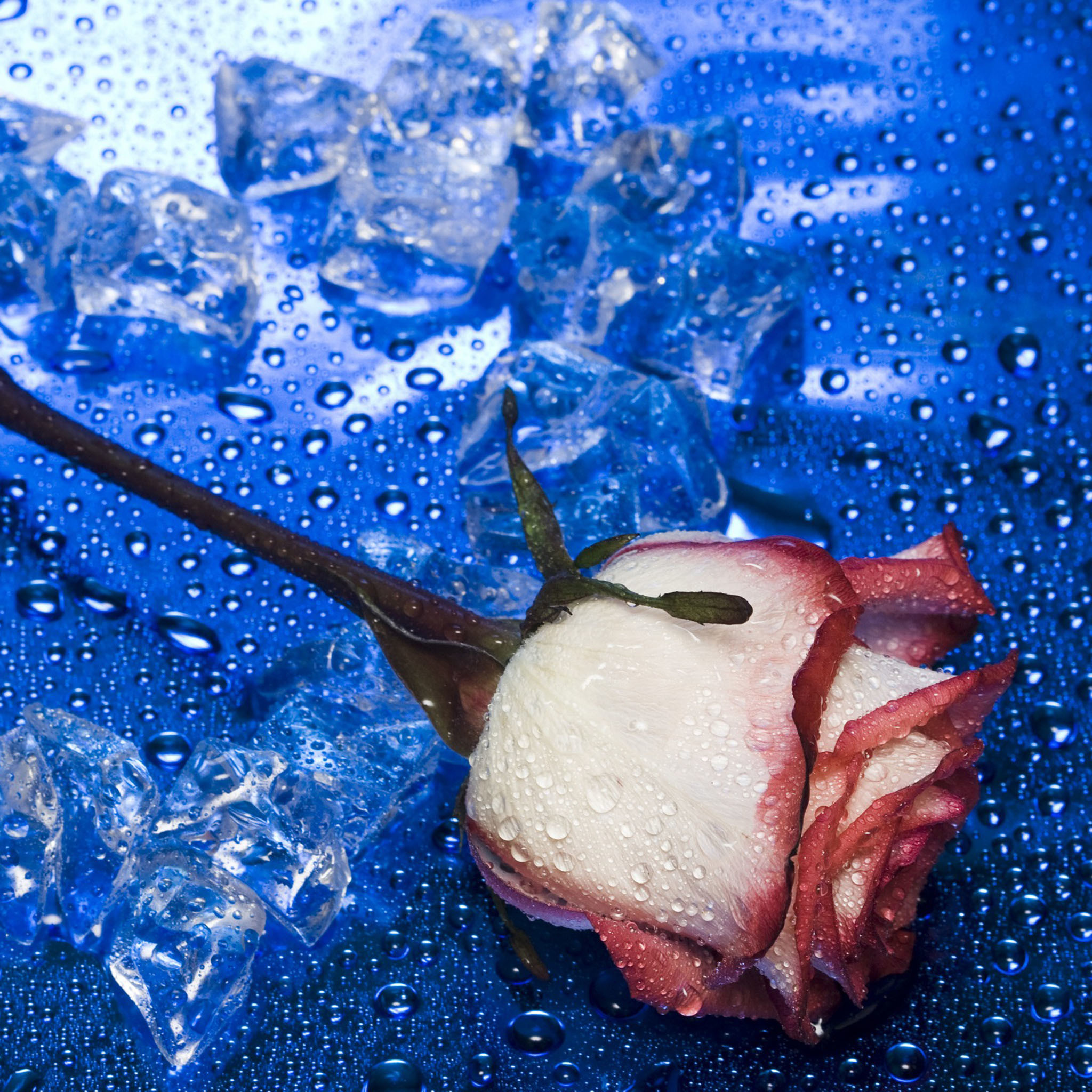 blue heart shaped rose image