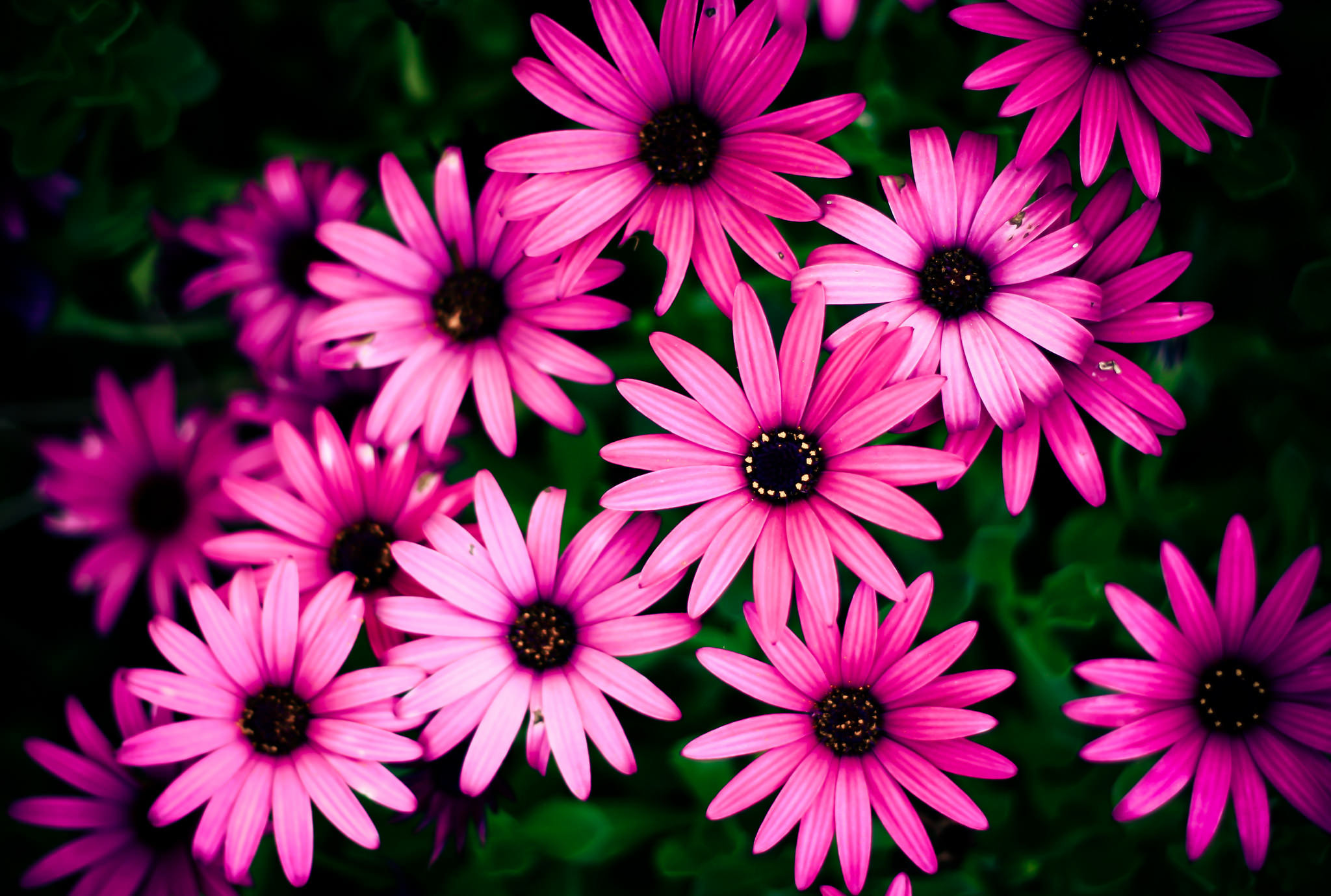Awesome Pink Daisy Wallpaper