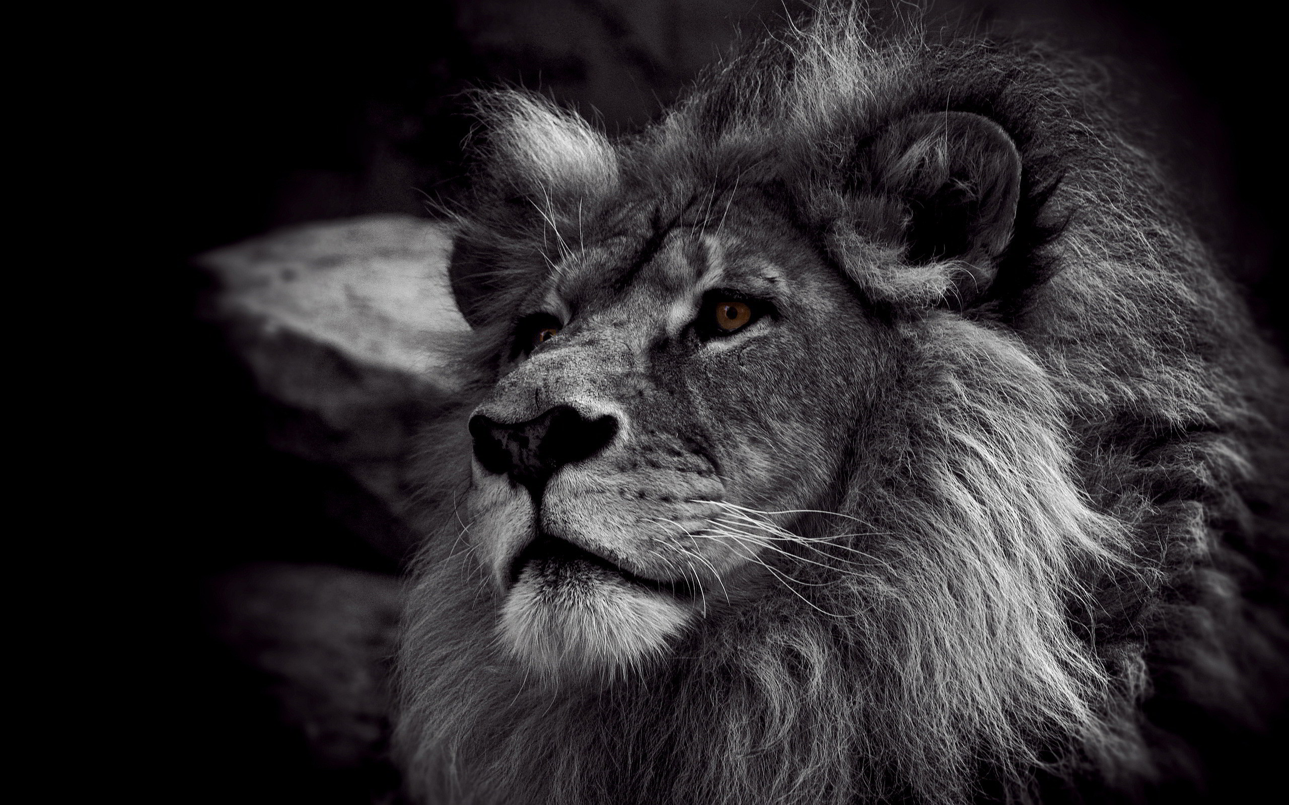 Lion Black And White Wallpapers High Resolution For Desktop Wallpaper 2560  x 1600 px 1.2 MB