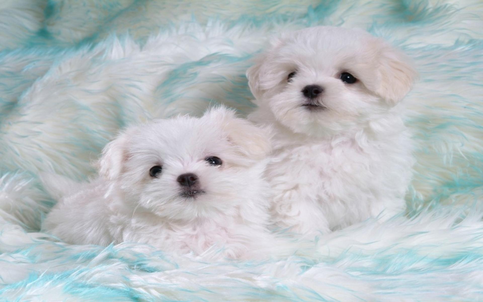Cute White Puppies 543552