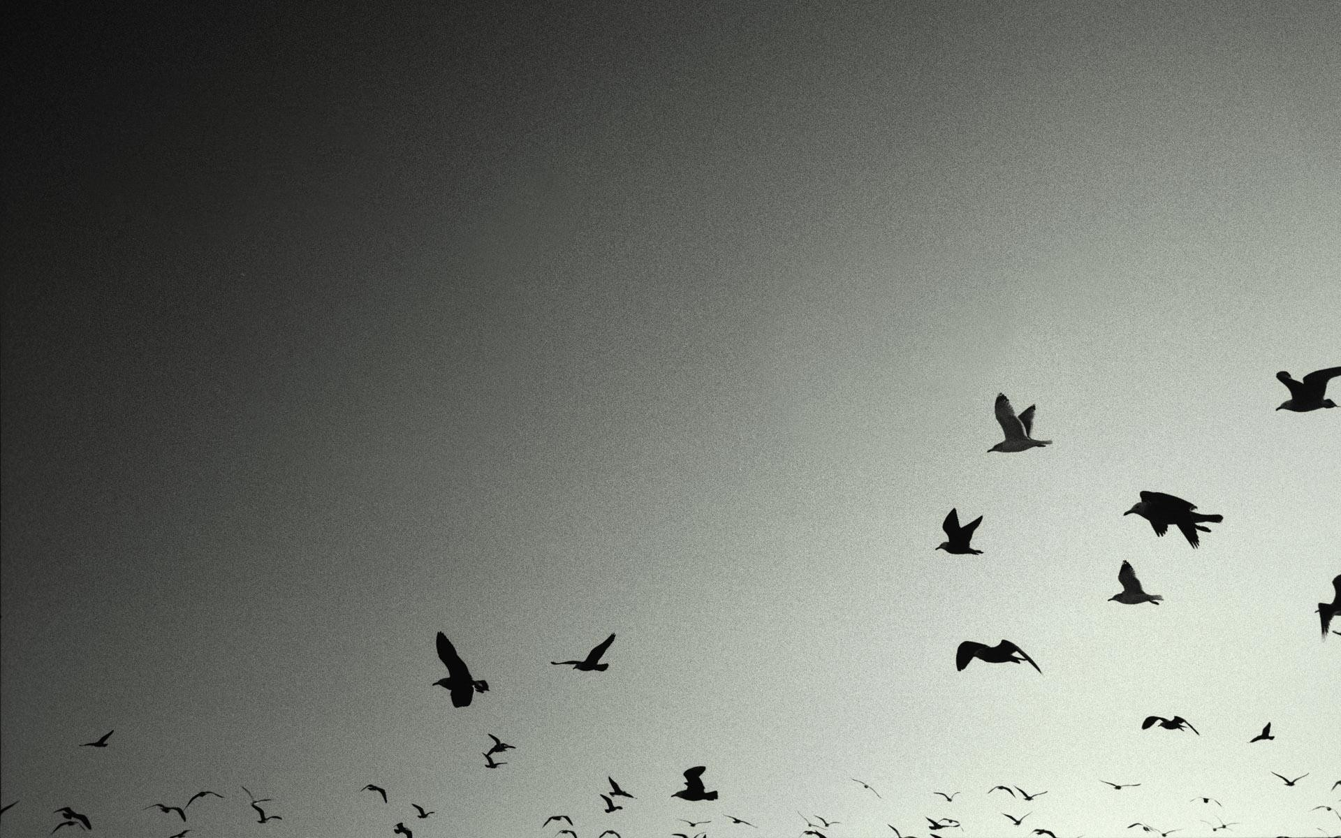 Birds-crows-grey-wallpaper-backgrounds-HD