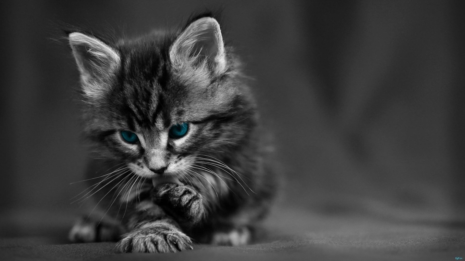 Wallpaper cat, black white, blue, eyes, baby, beautiful
