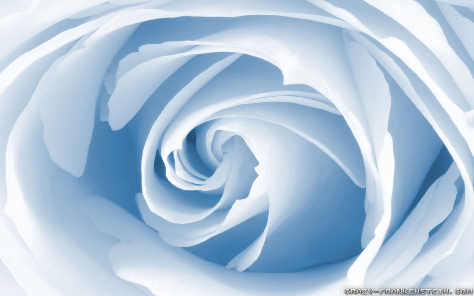 light blue roses wallpaper Desktop Background