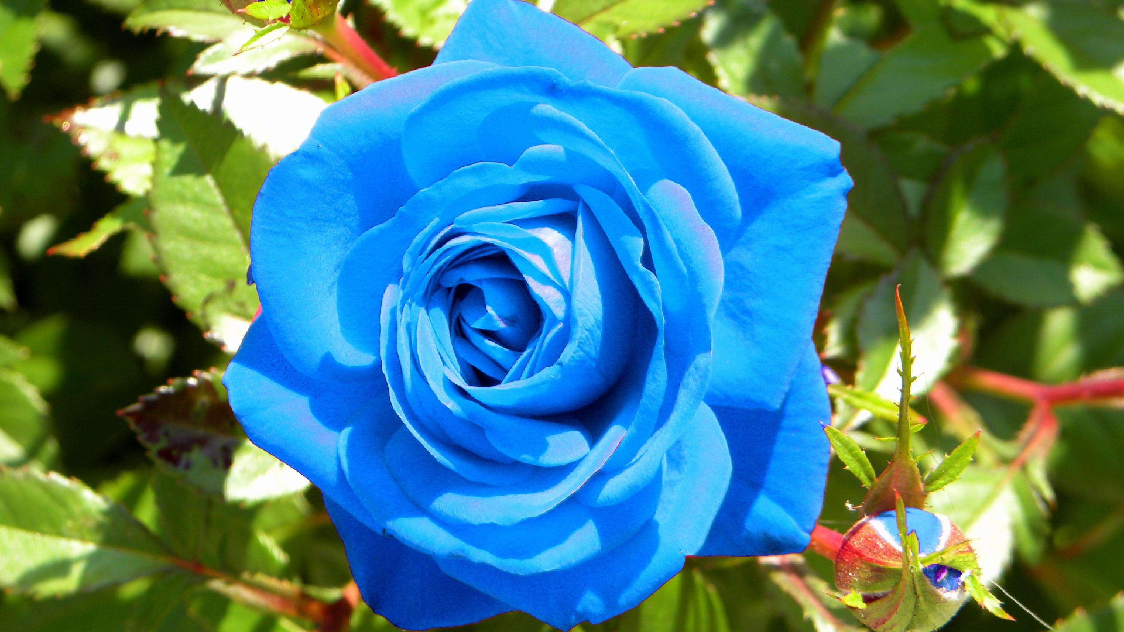 Wallpaper rose, flower, buds, blue, light
