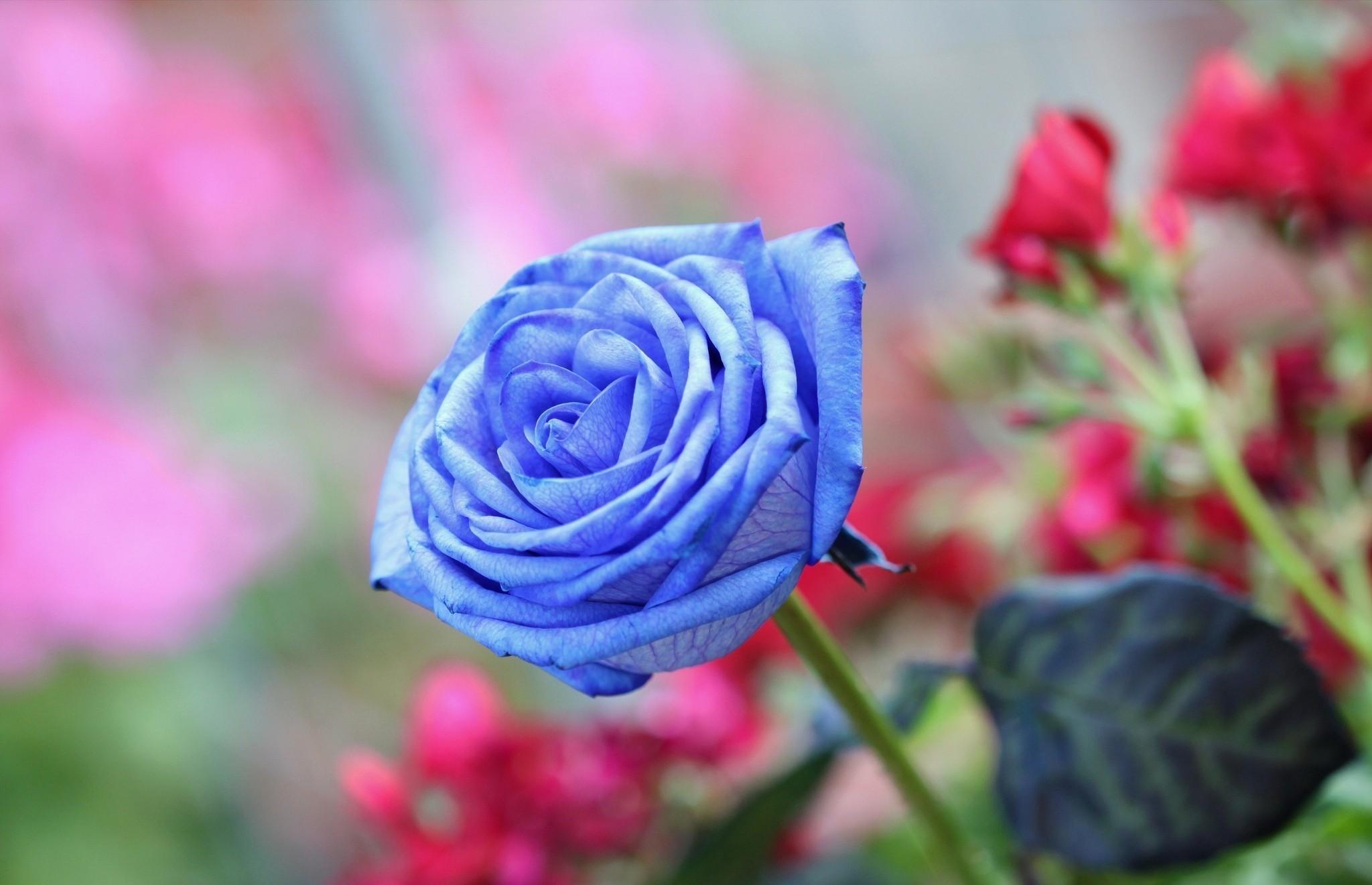 Wallpaper Roses Light Blue Flowers
