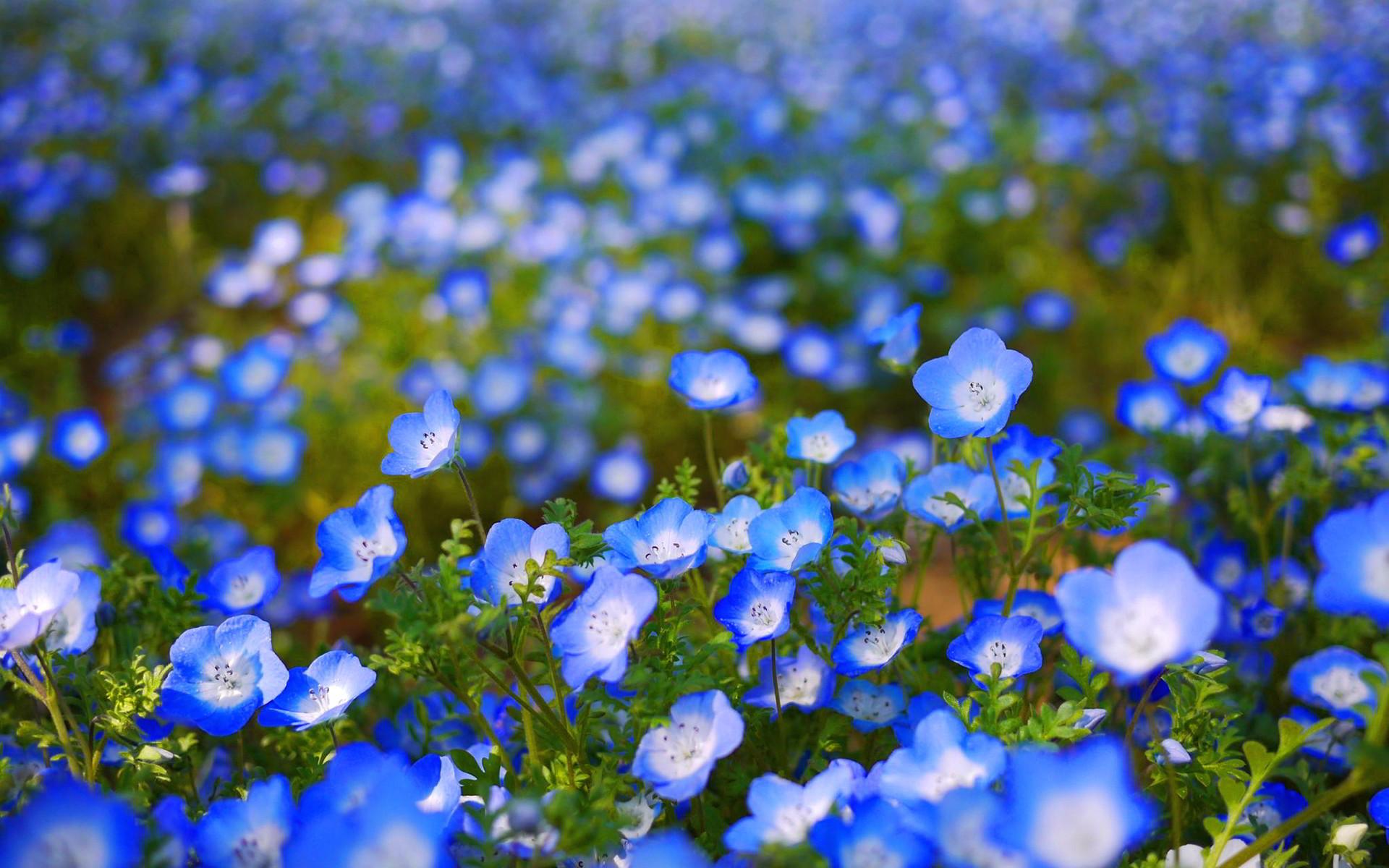 Blue Flower Wallpaper 1080p …