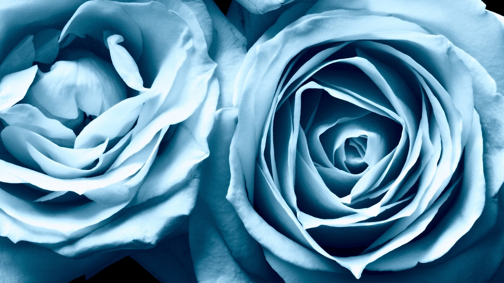 Flowers Wallpapers : Blue Roses Widescreen #1060 pixel .