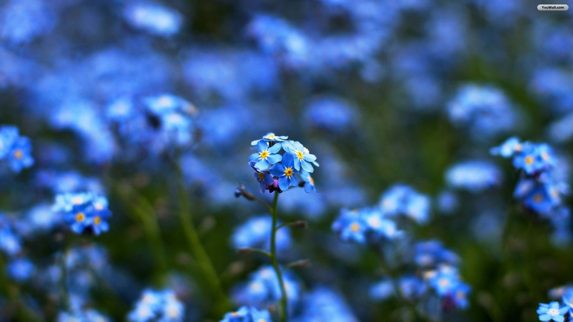 Blue Flower Wallpaper For Android …