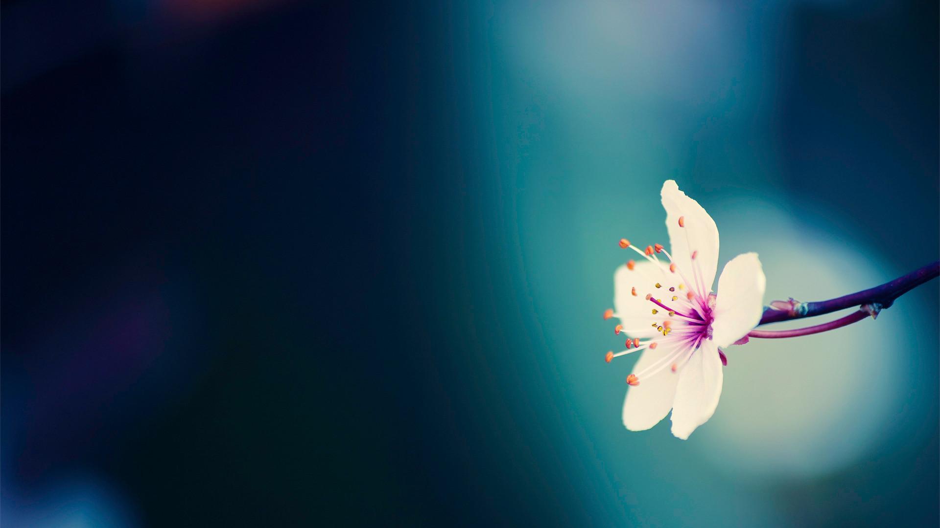 Cherry-blossom-flower-wallpapers.jpg (1920×1080)