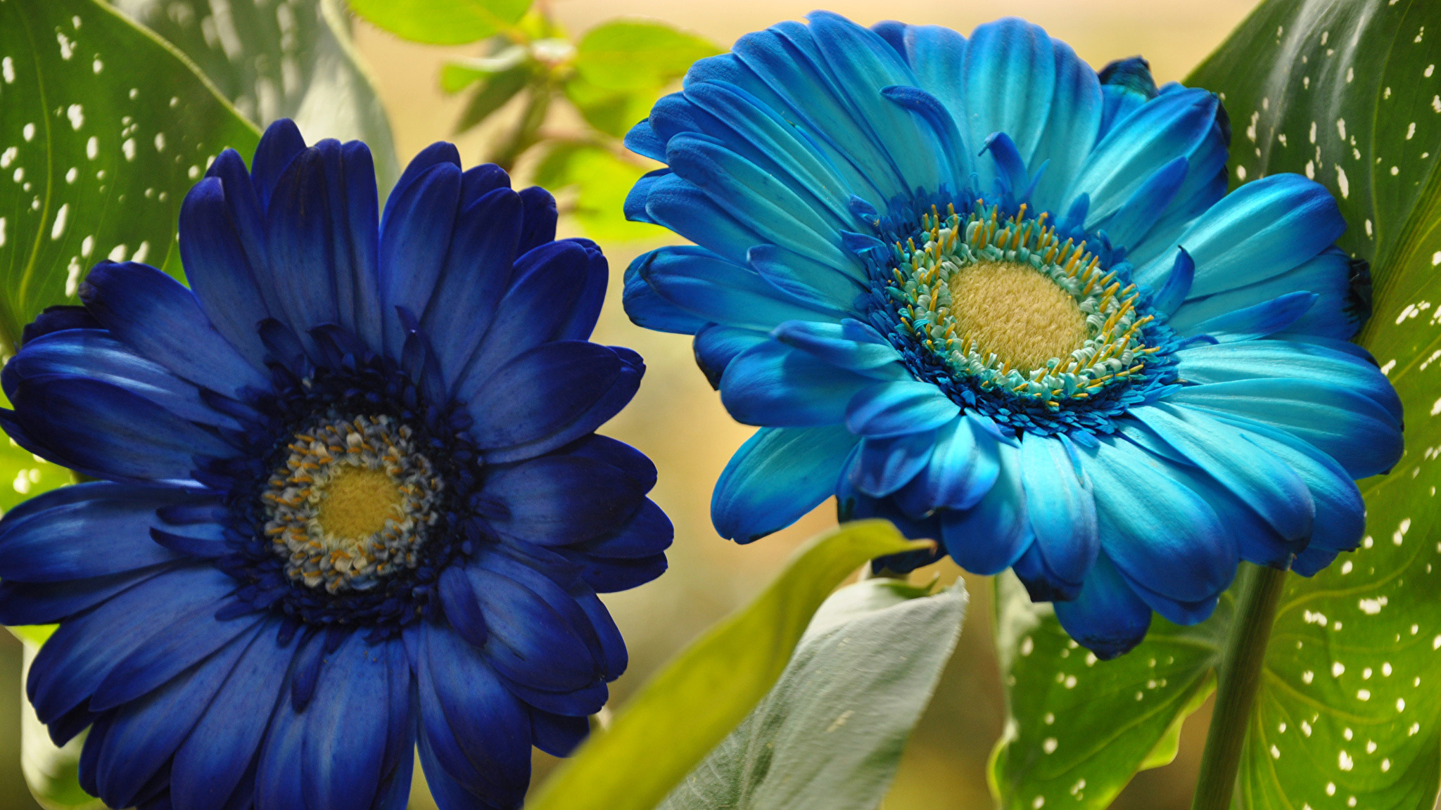 Wallpaper 2 Blue Gerberas Light Blue Flowers Closeup Two