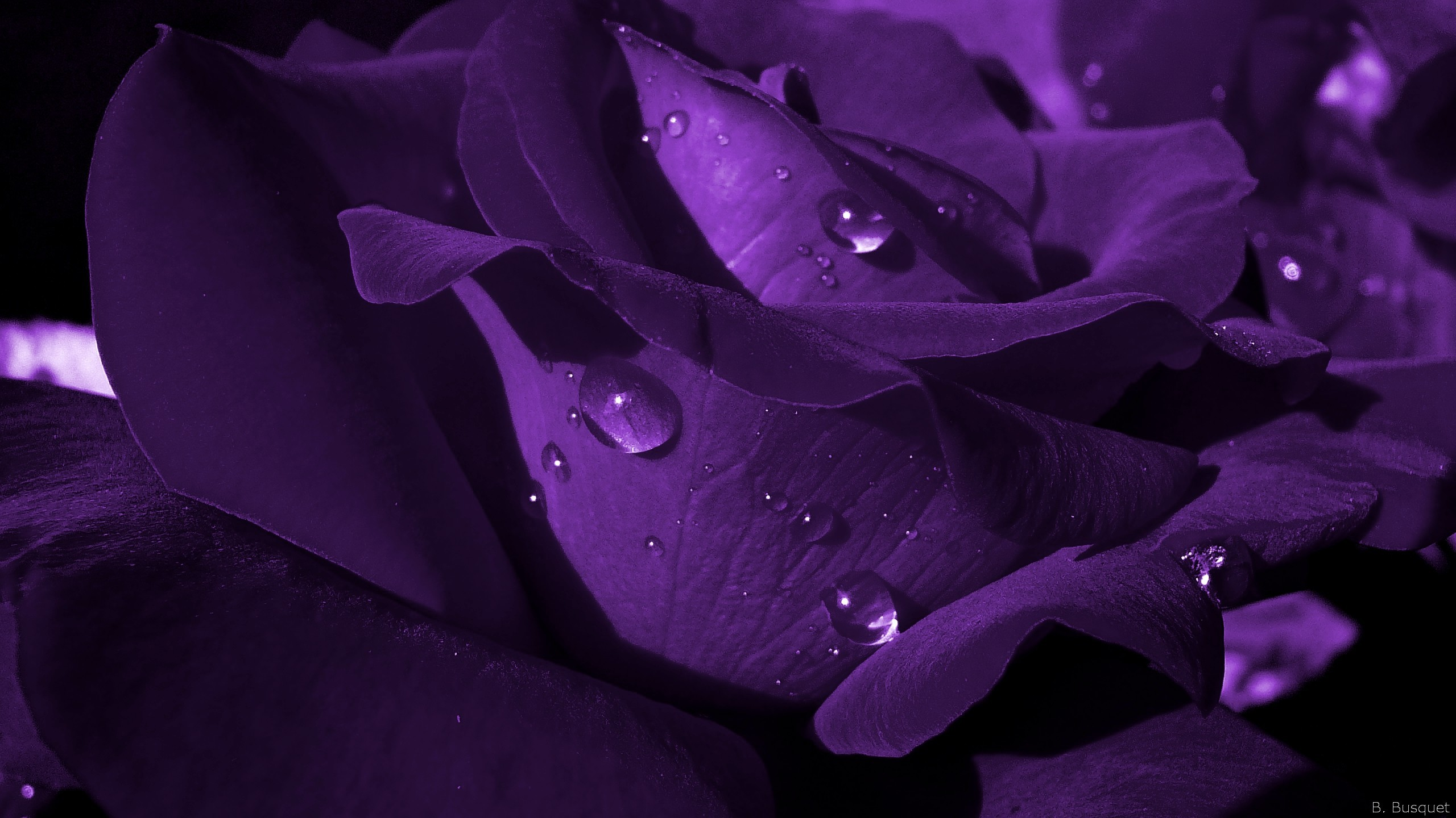Purple Rose Wallpaper Mobile Very High Resolution Wallpapers px MB