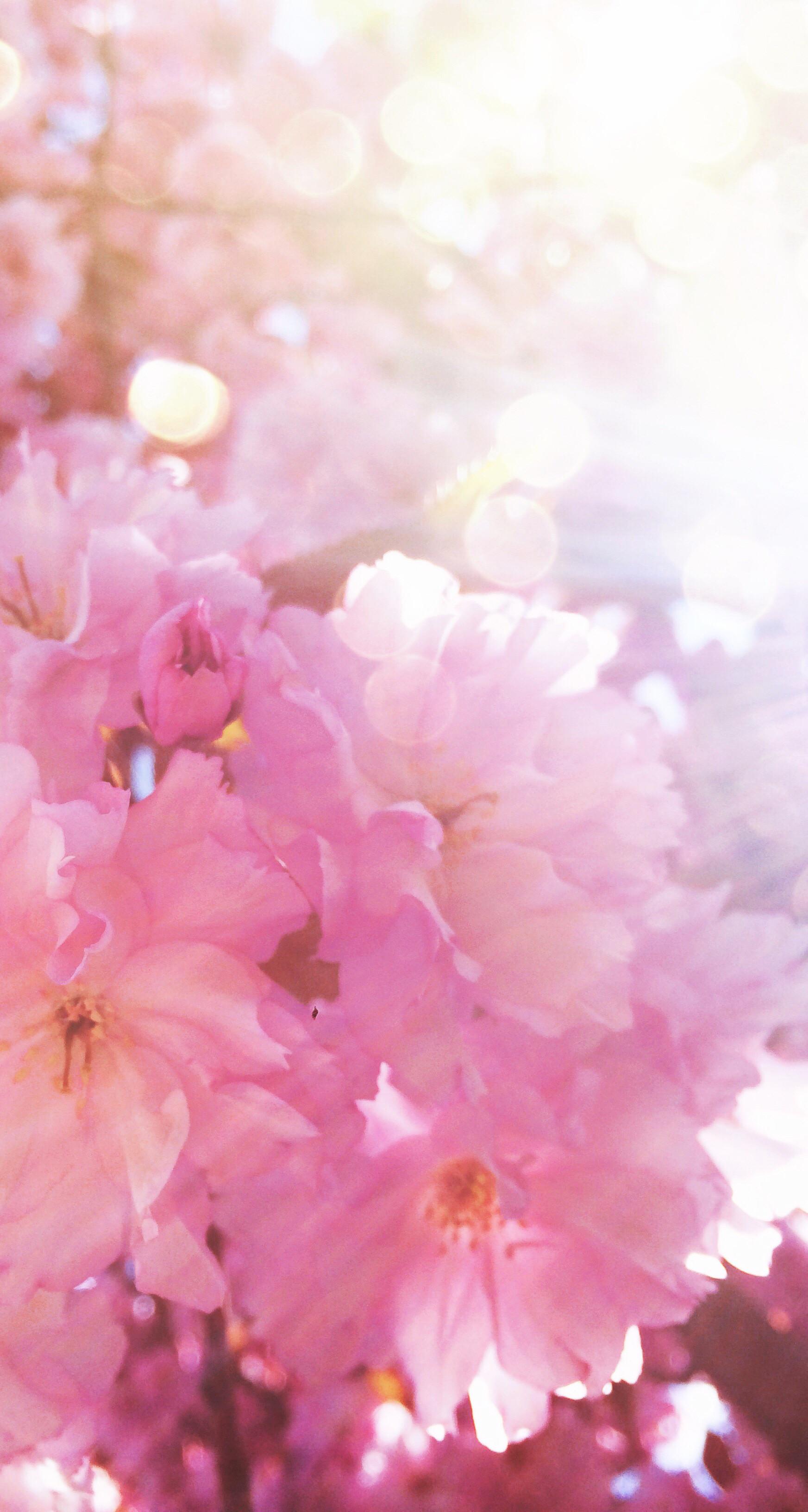 My beloved #cherrytree in mummy's garden :) #cherry #blossom #pink # · Cute  BackgroundsIphone …