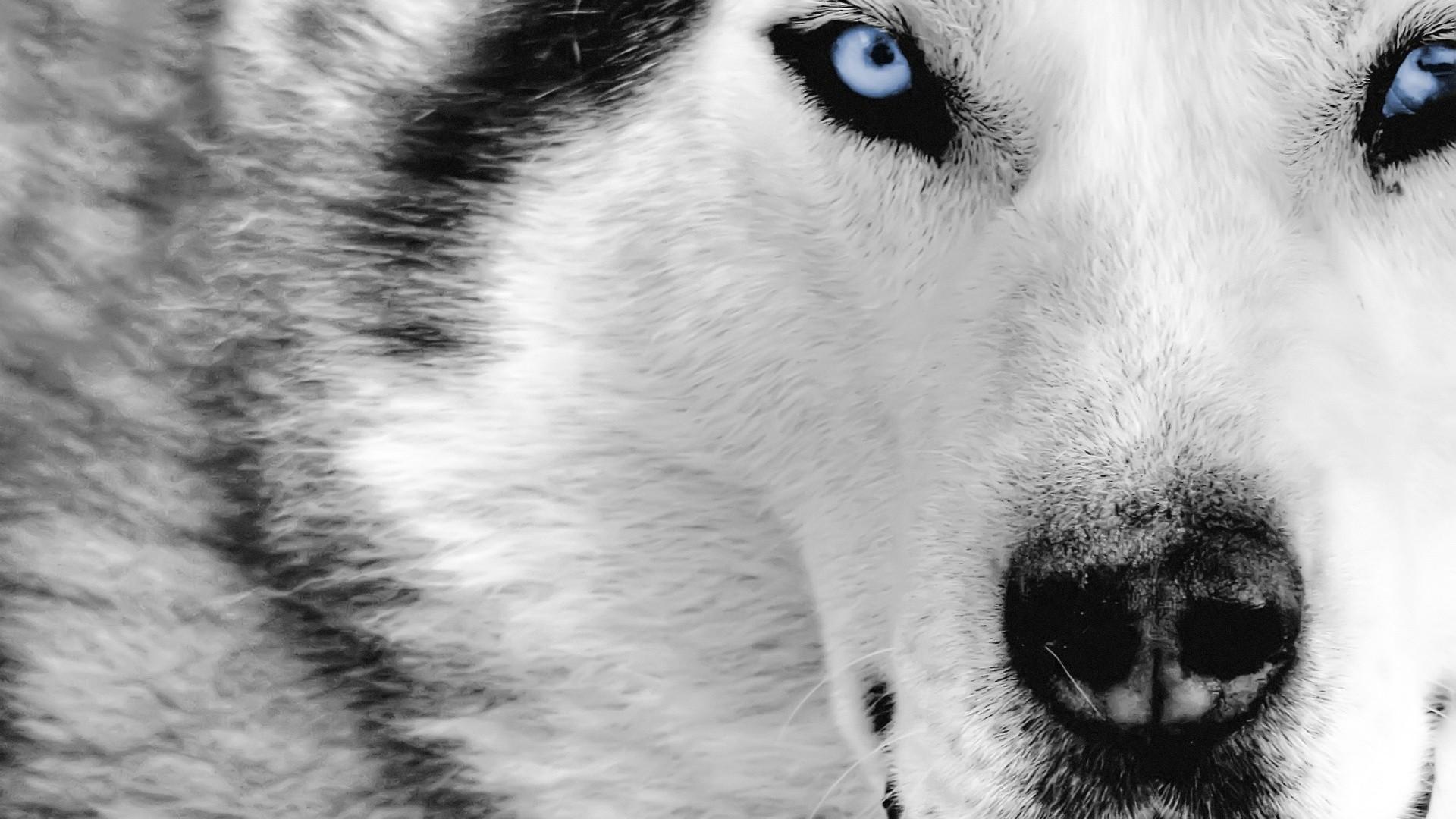 Blue Eyes White Wolf HD Wallpaper