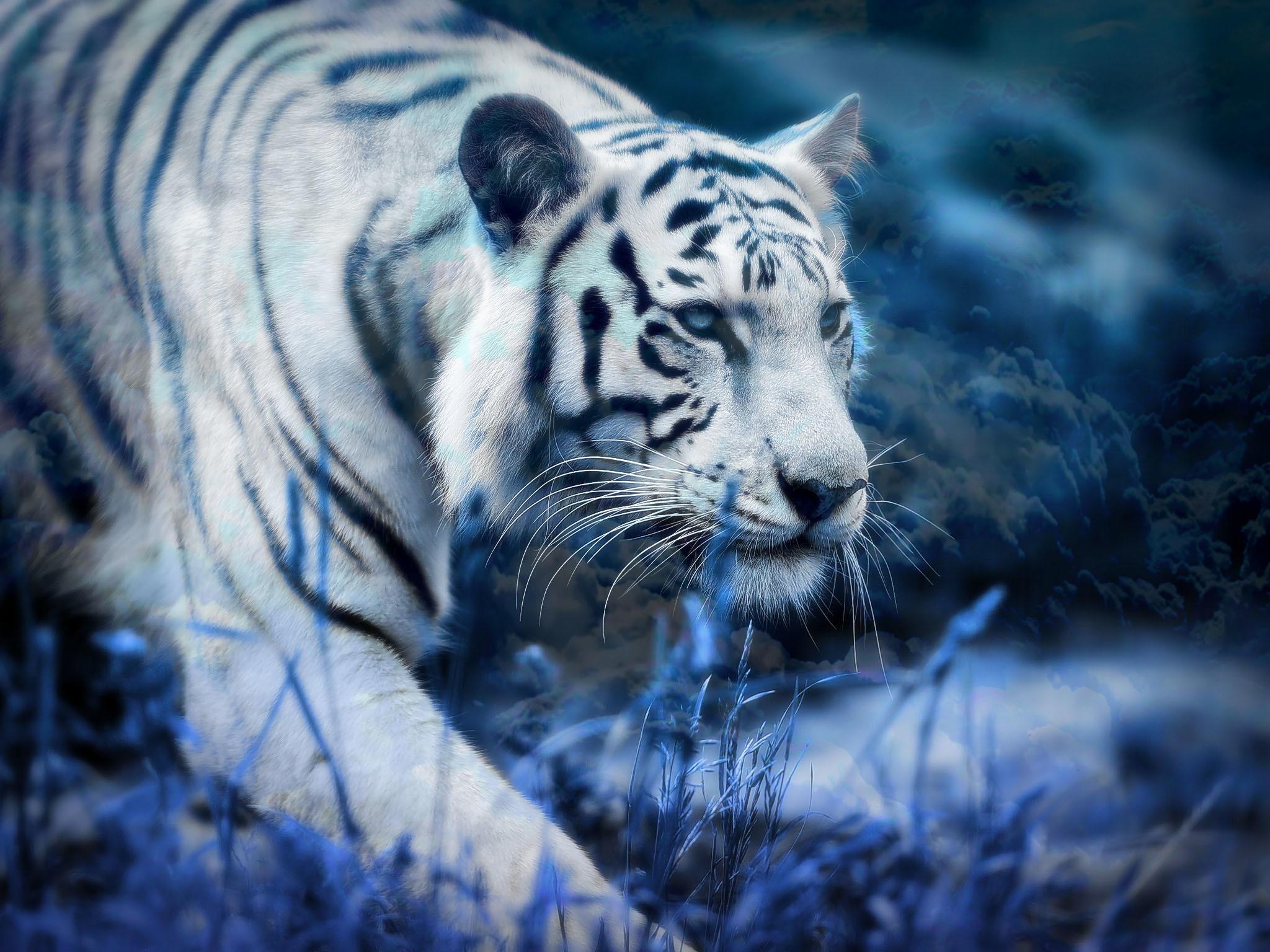 Animal – White Tiger Wallpaper